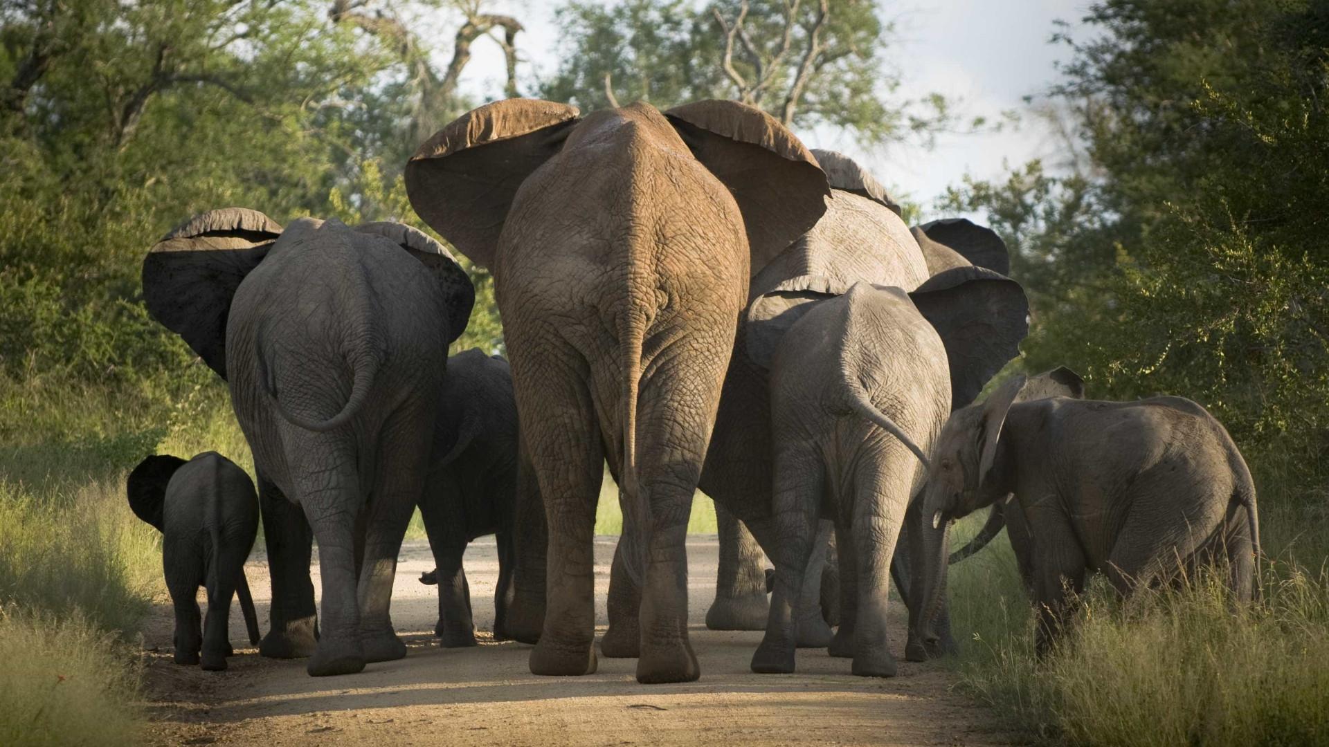 Mais de 730 mil elefantes desapareceram de áreas protegidas