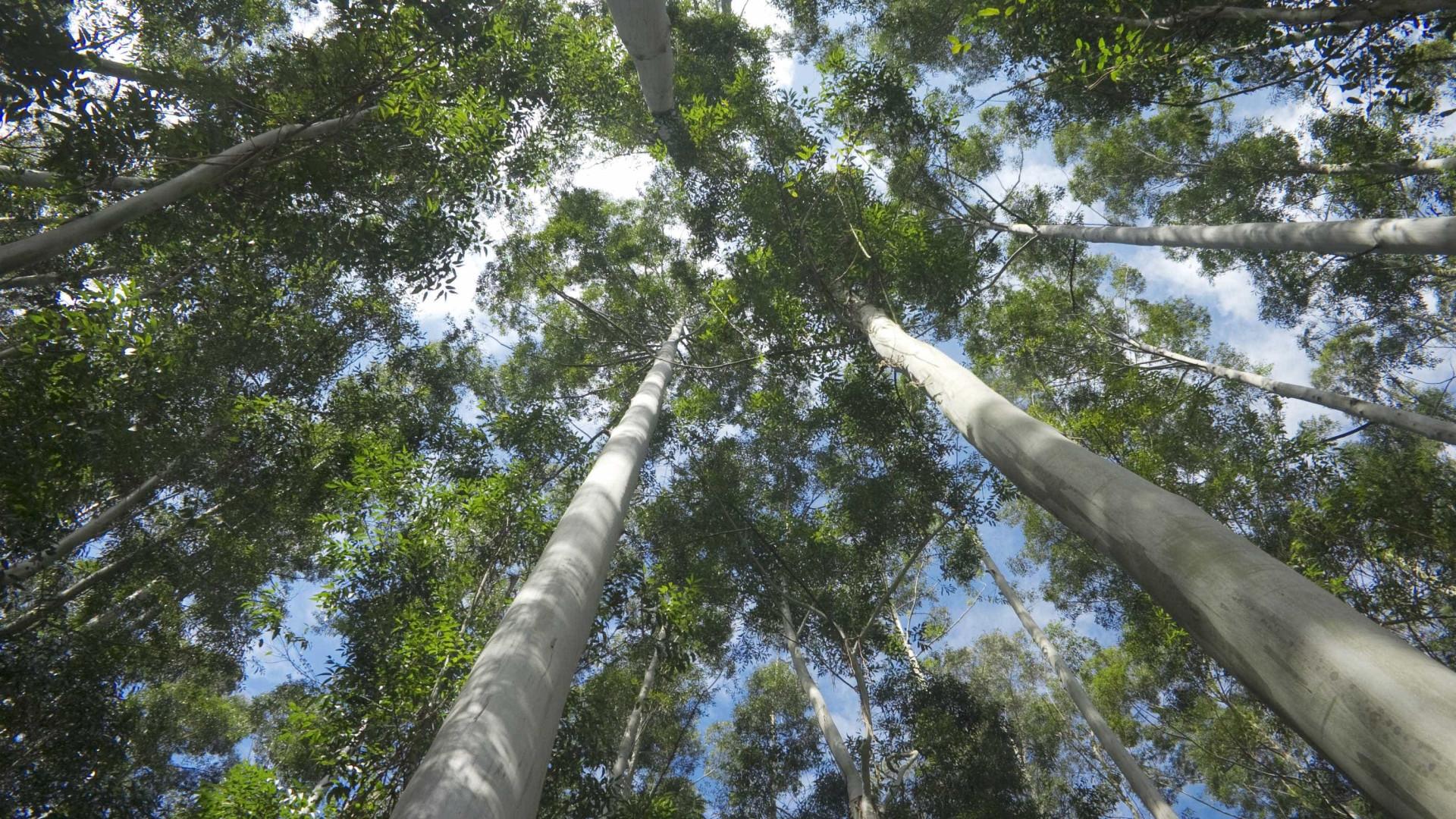 Ambientalistas enaltecem limitação de eucaliptais na reforma florestal