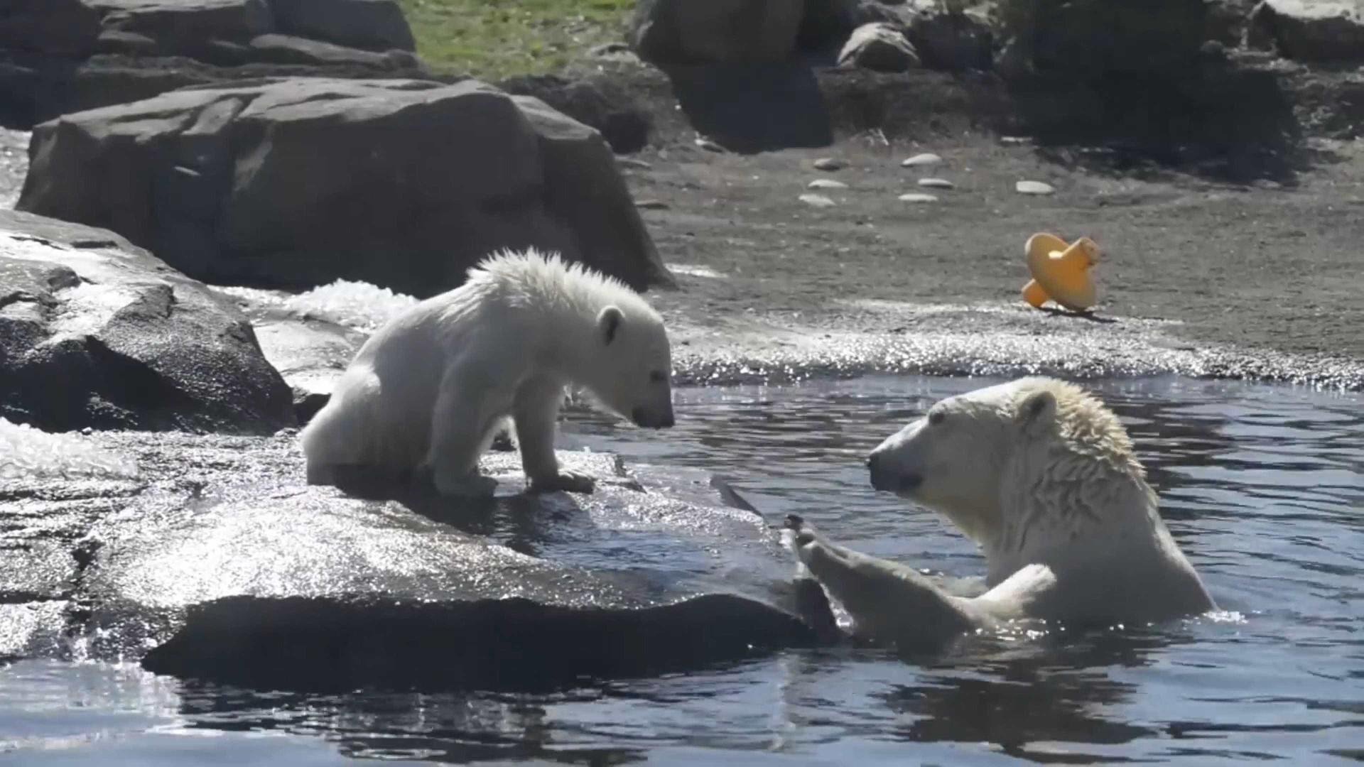 Urso polar bebé é apresentado ao público