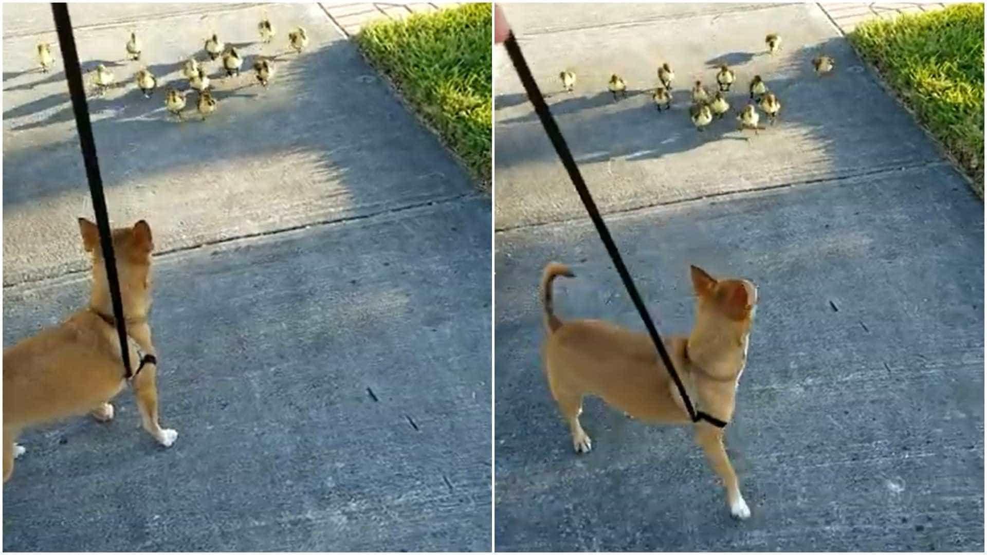 Cão atacado (carinhosamente) por gang de... patinhos