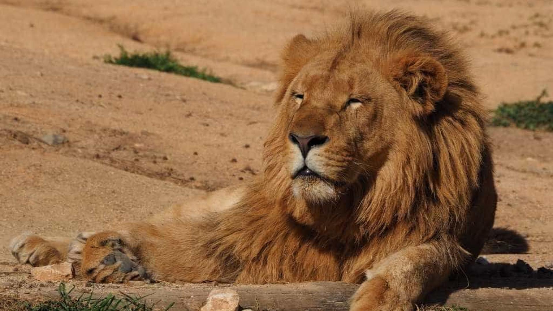 SABIA QUE há um belo santuário de felinos na África do Sul?