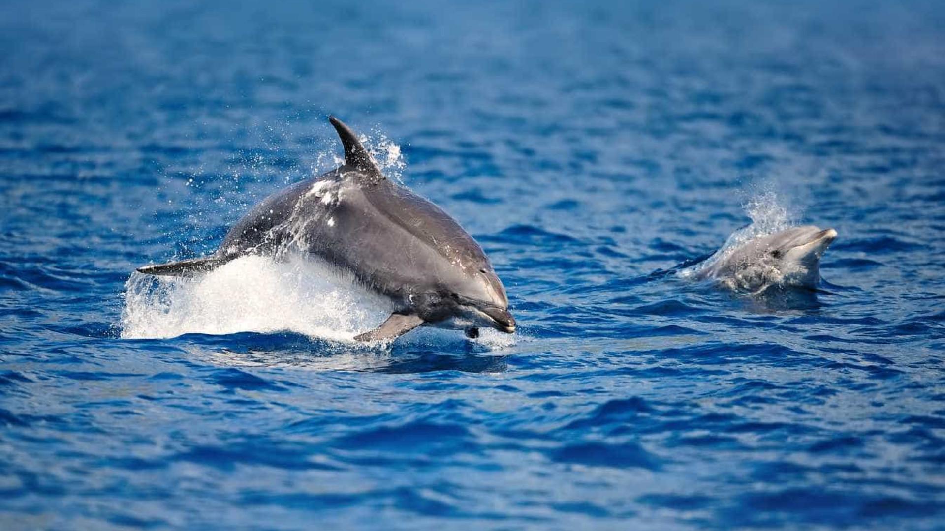 Golfinhos em risco de desaparecer das águas lusas por captura acidental