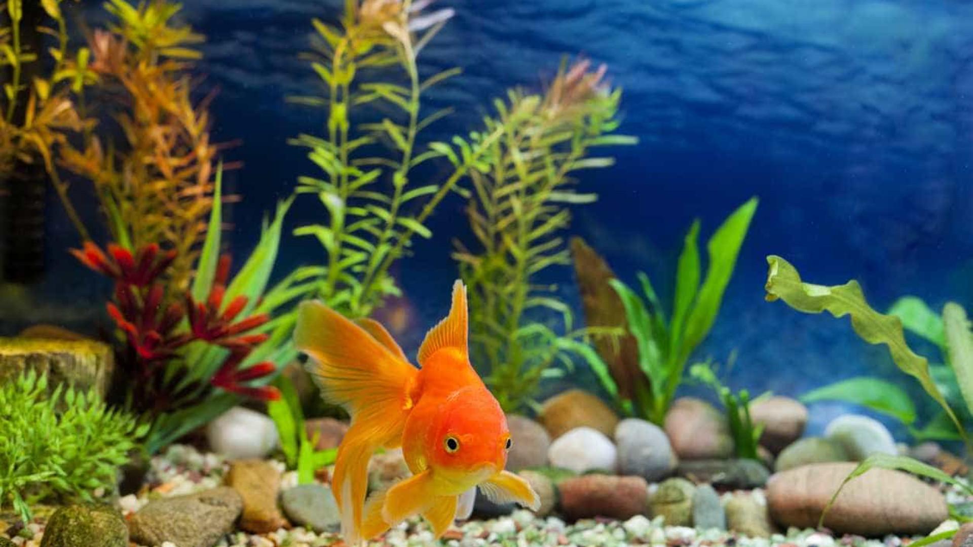 SABIA QUE os peixinhos dourados são bem sujinhos?