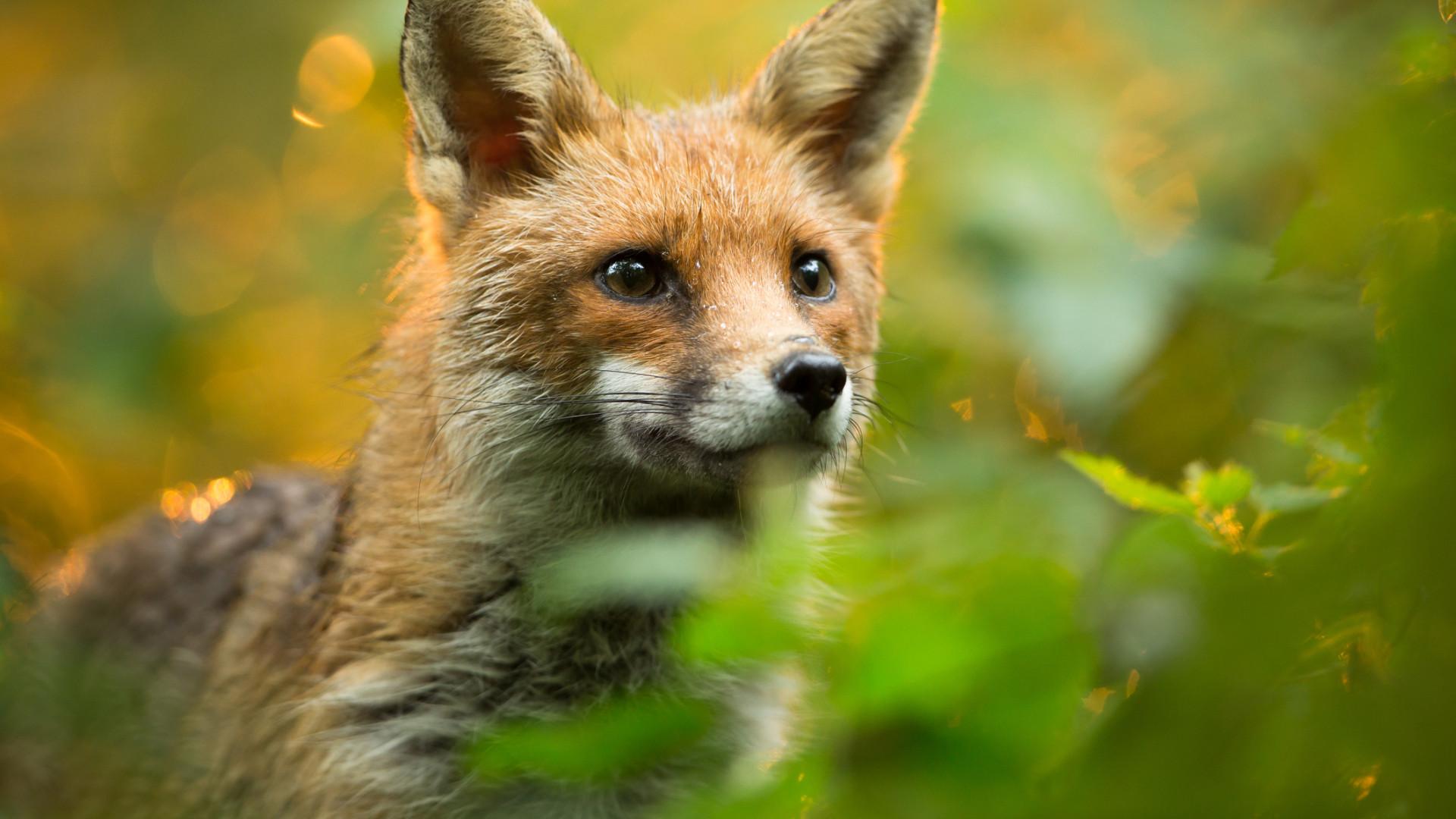 PAN quer acabar com a caça à raposa e com uso de cães na caça