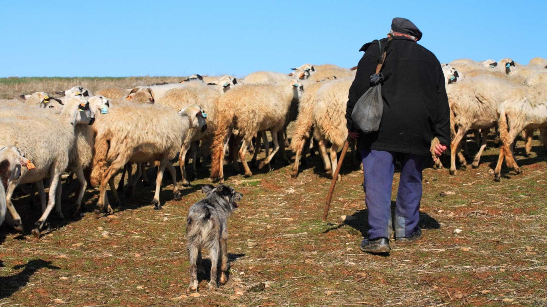 Estreia documentário sobre romaria de pastores da Serra da Estrela