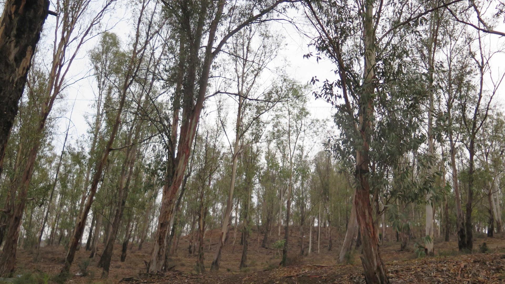 Governo aceita reduzir plantação de eucaliptos, exigência do Bloco e PCP