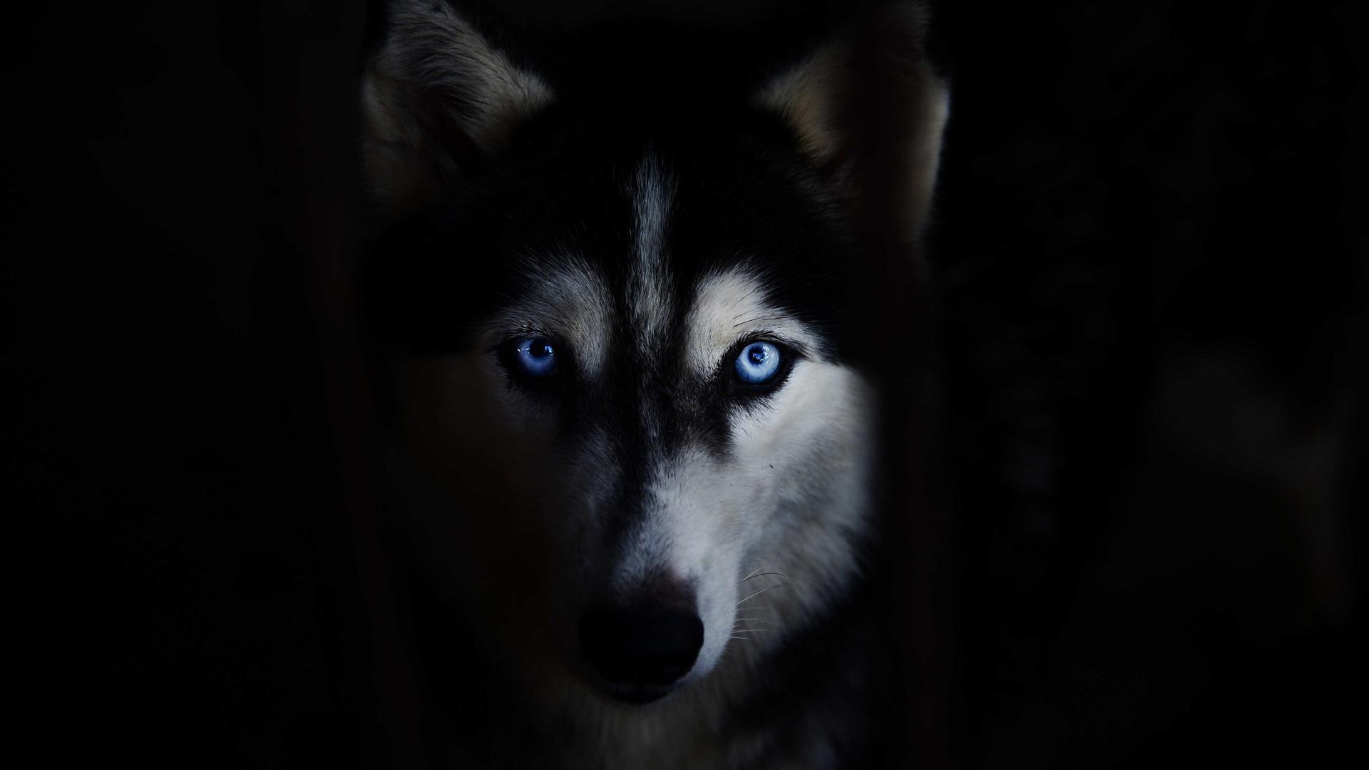 Número de huskies abandonados aumenta. A culpa é de 'A Guerra dos Tronos'