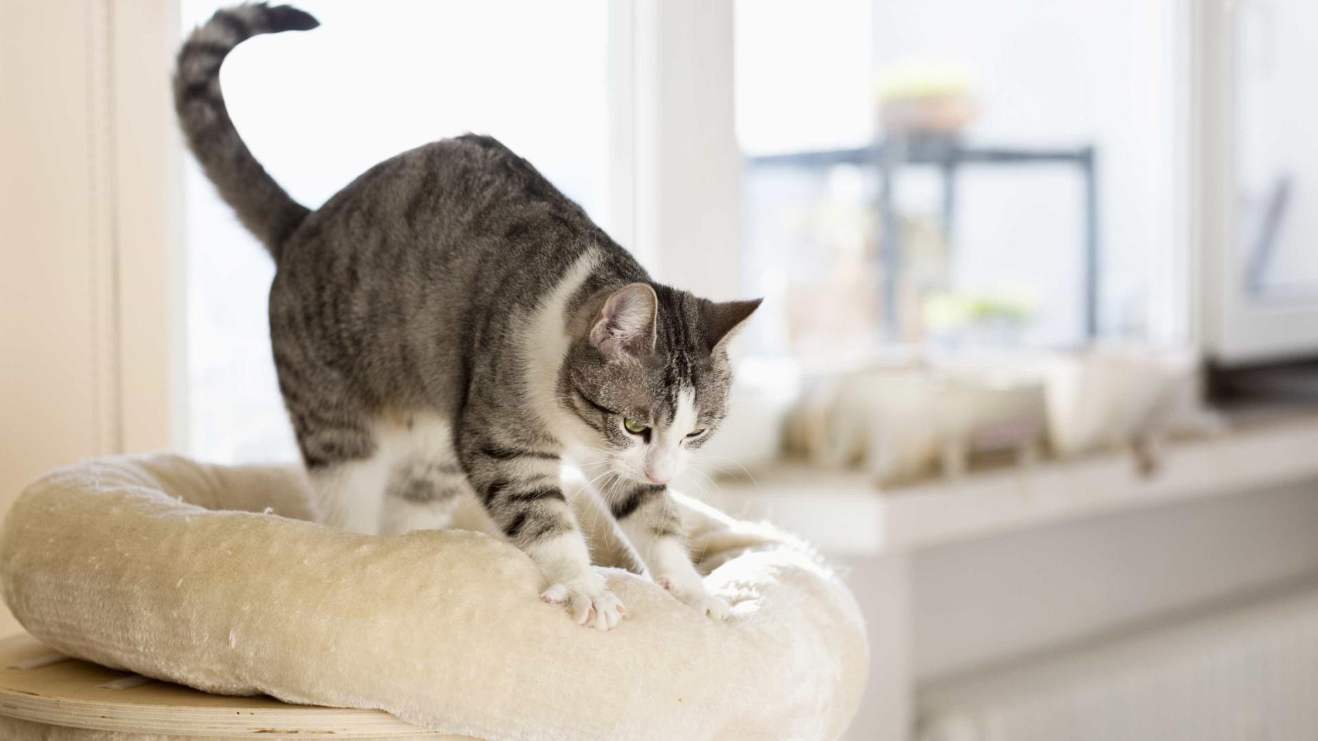 SABIA QUE os gatos esfregam o focinho para marcarem território?