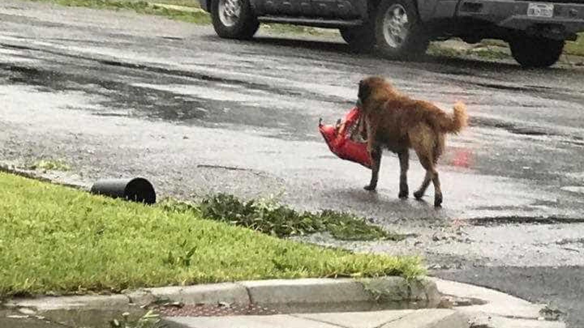 Cão foge de furacão mas leva saco de comida