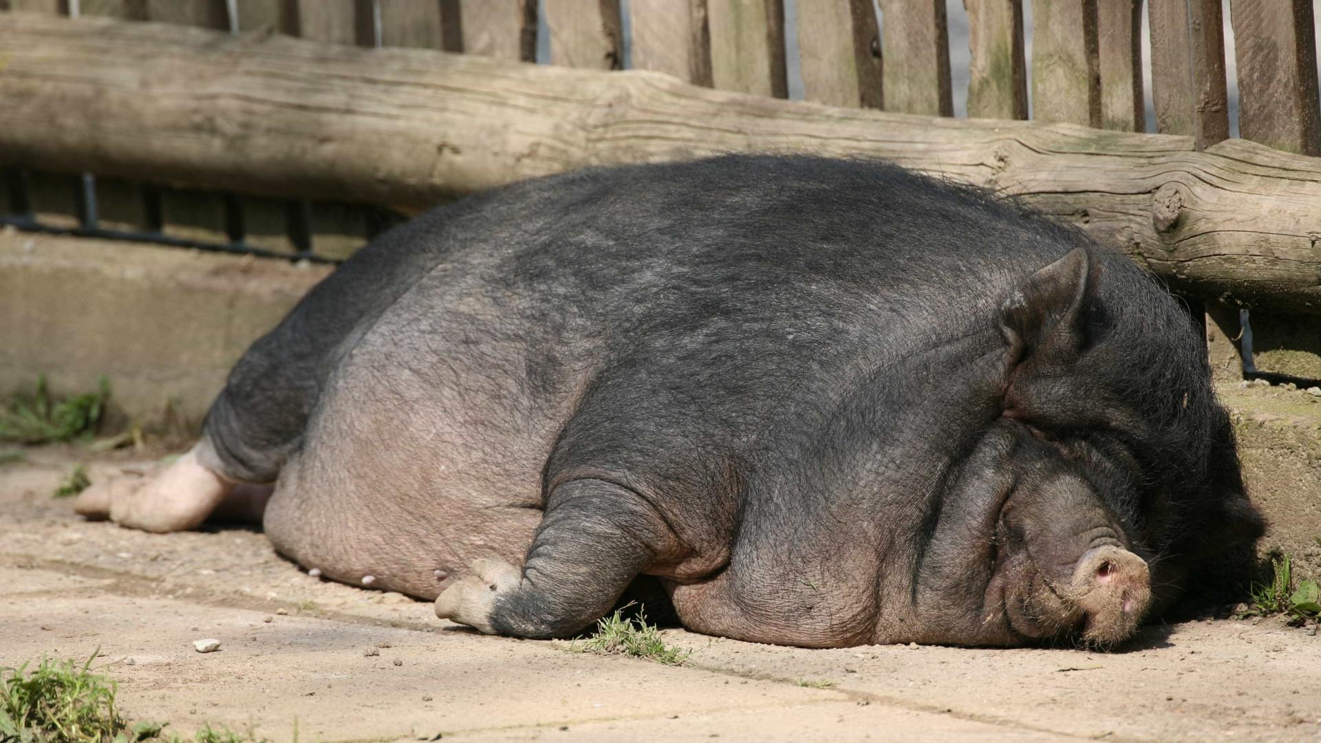 Homem acusado de maltratar três dezenas de porcos vietnamitas