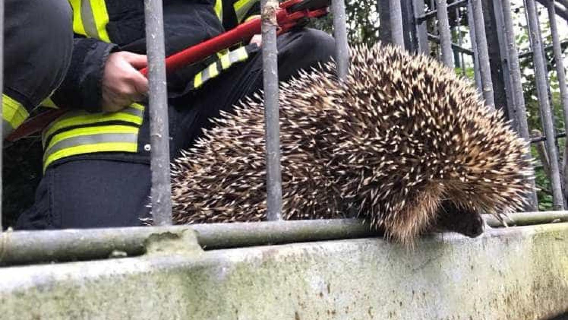 Bombeiros salvam porco-espinho preso em vedação