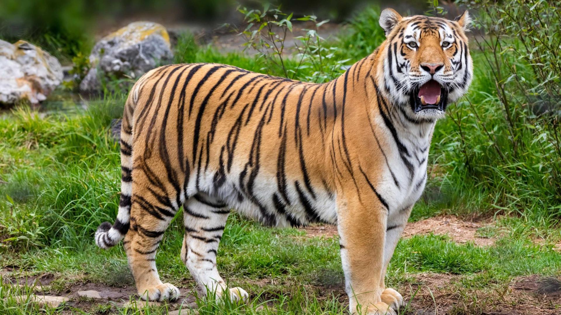 Tigre escapa e ataca cuidadora do Zoológico - Imagens impressionantes!