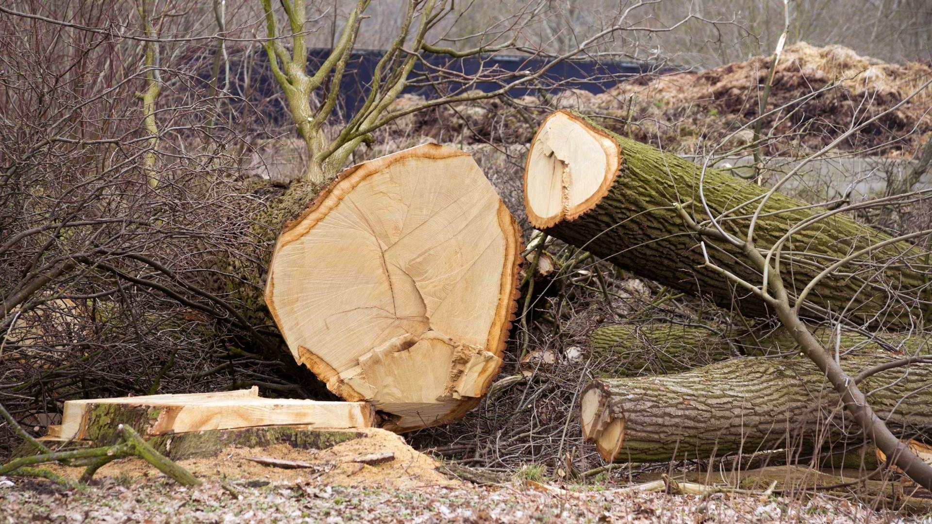 Abate de árvores saudáveis suspenso até meados de abril