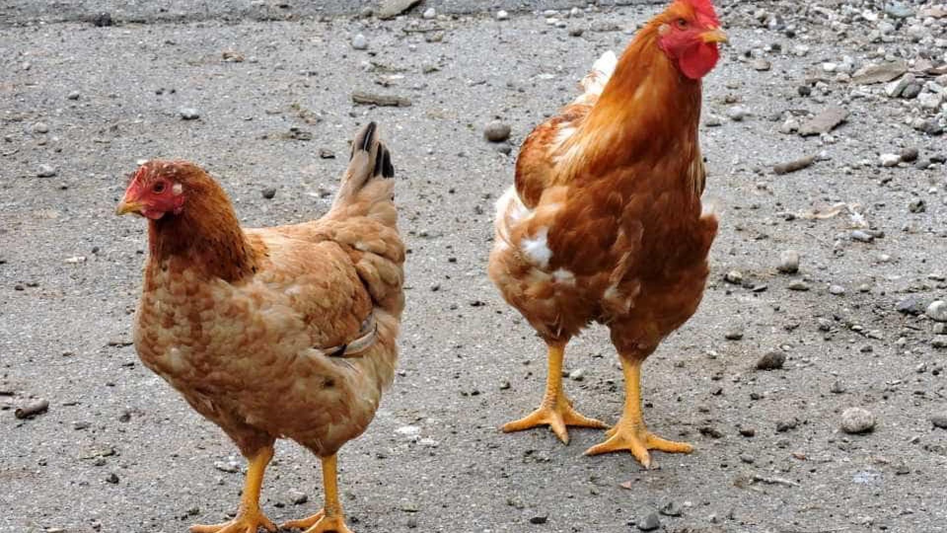 Galinhas eram cozidas vivas em matadouro no processo de abate