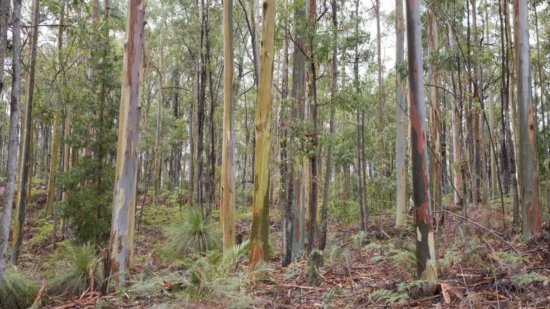 """Eucalipto provoca """"dramática redução"""" da biodiversidade"""