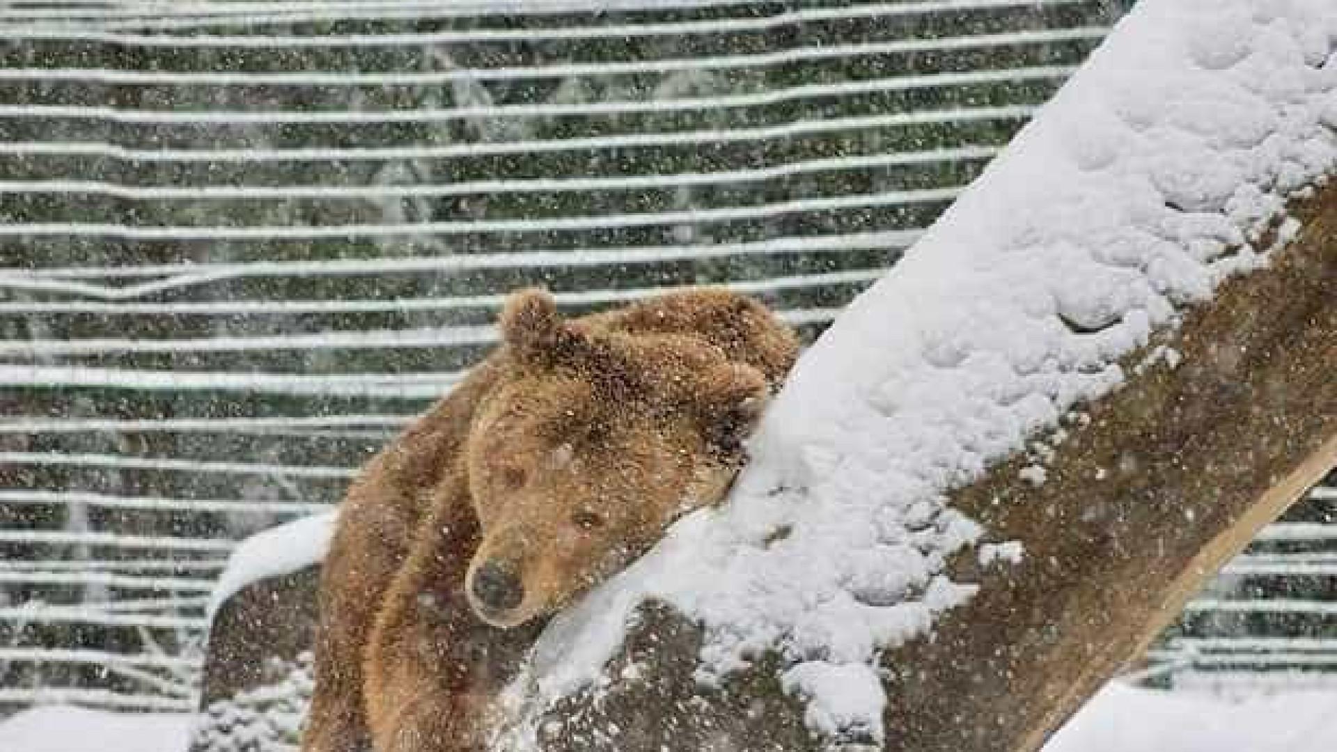 Após 20 anos numa jaula, urso brinca pela primeira vez na neve