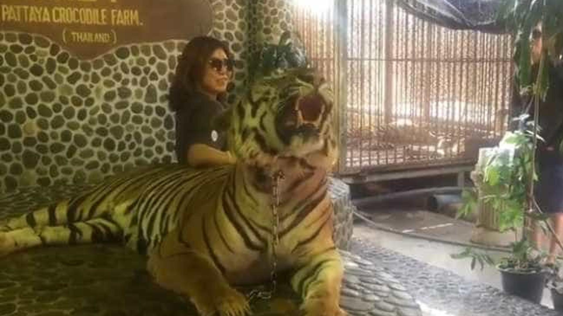 Todos os dias, tigre é maltratado para que turistas tirem a melhor foto