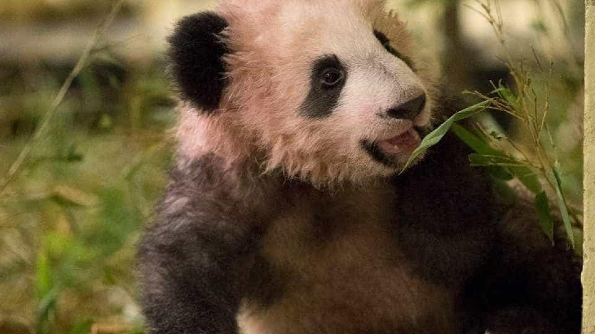 Primeiro panda a nascer em França apresentado ao público este sábado