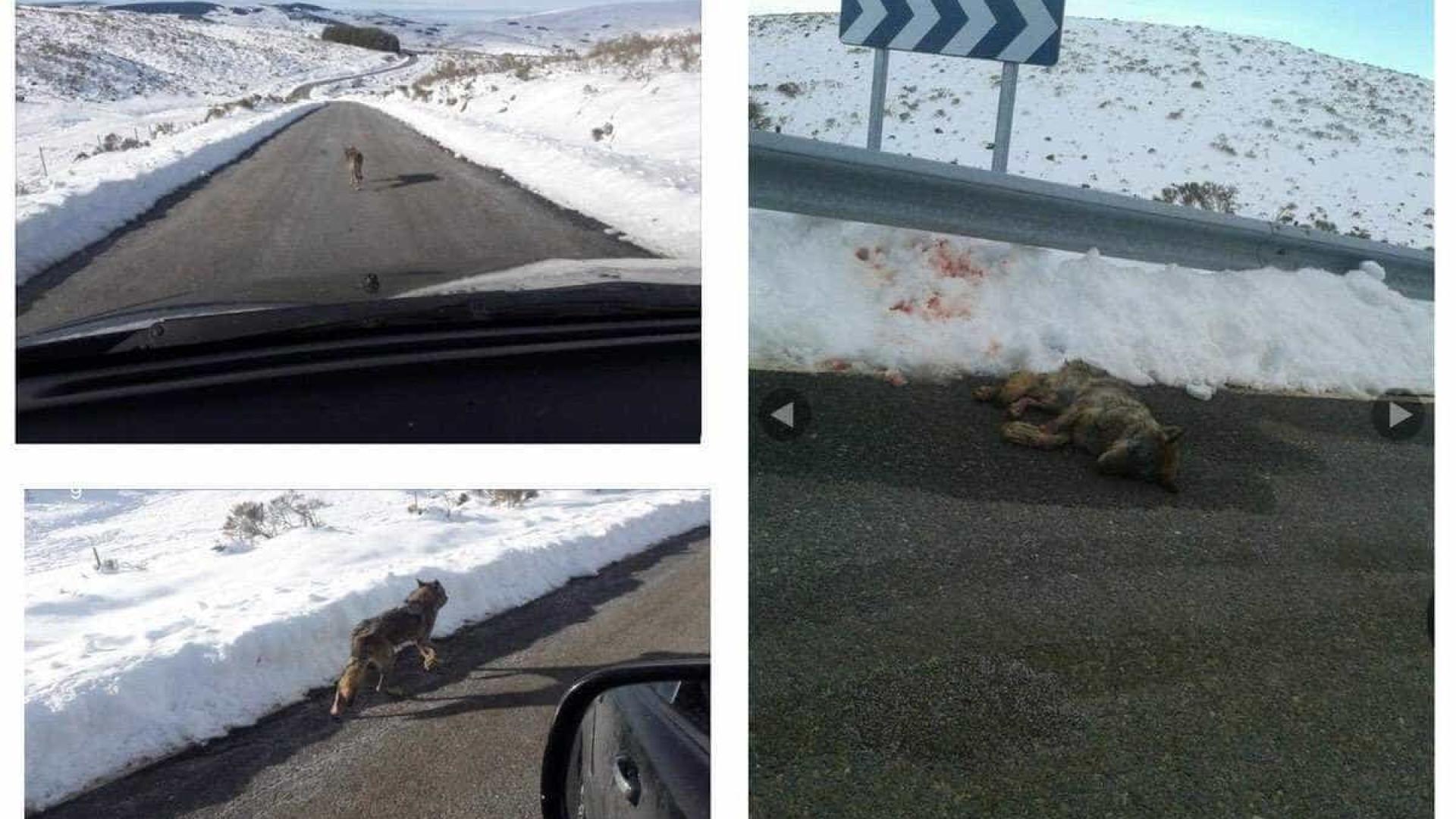 Atropela lobo na estrada e publica as fotos no Facebook