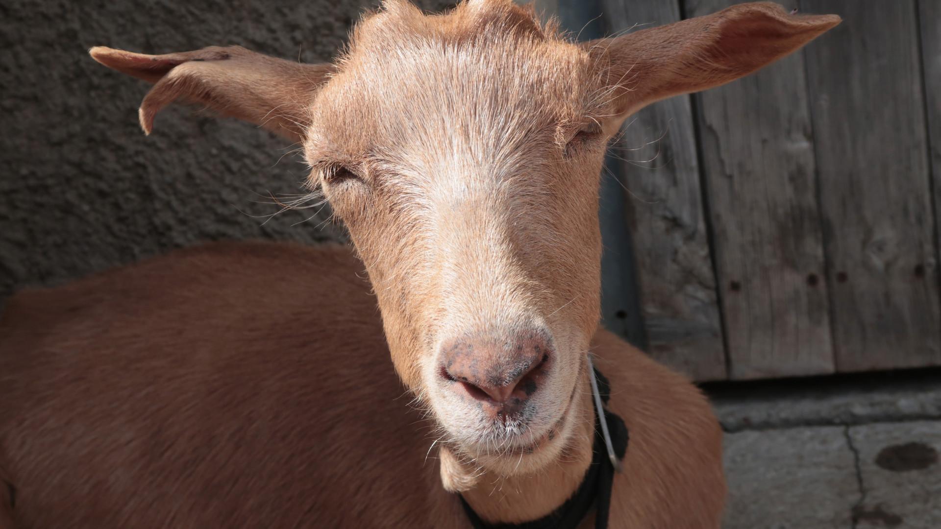"""Em Palmaria, 100 cabras vão ser retiradas """"na maior operação de sempre"""""""