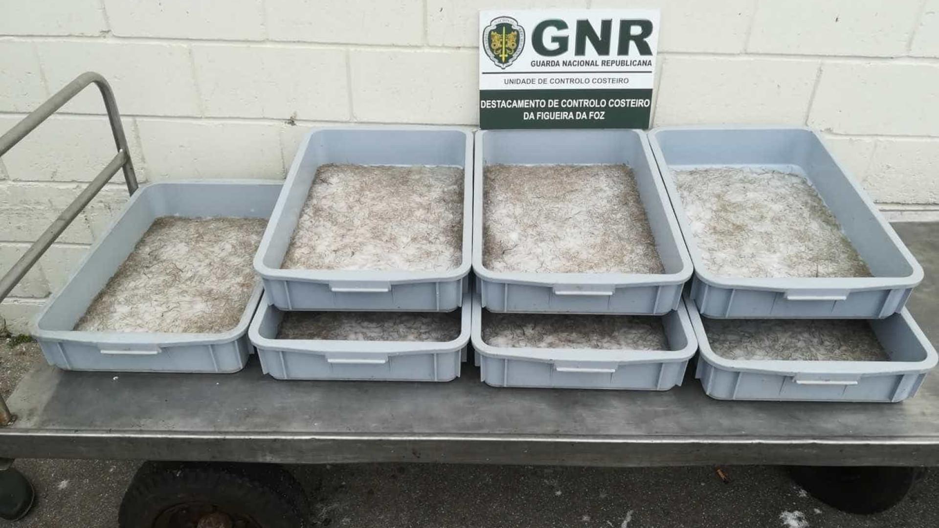 Cerca de 14,7 quilos de meixão apreendidos na Nazaré
