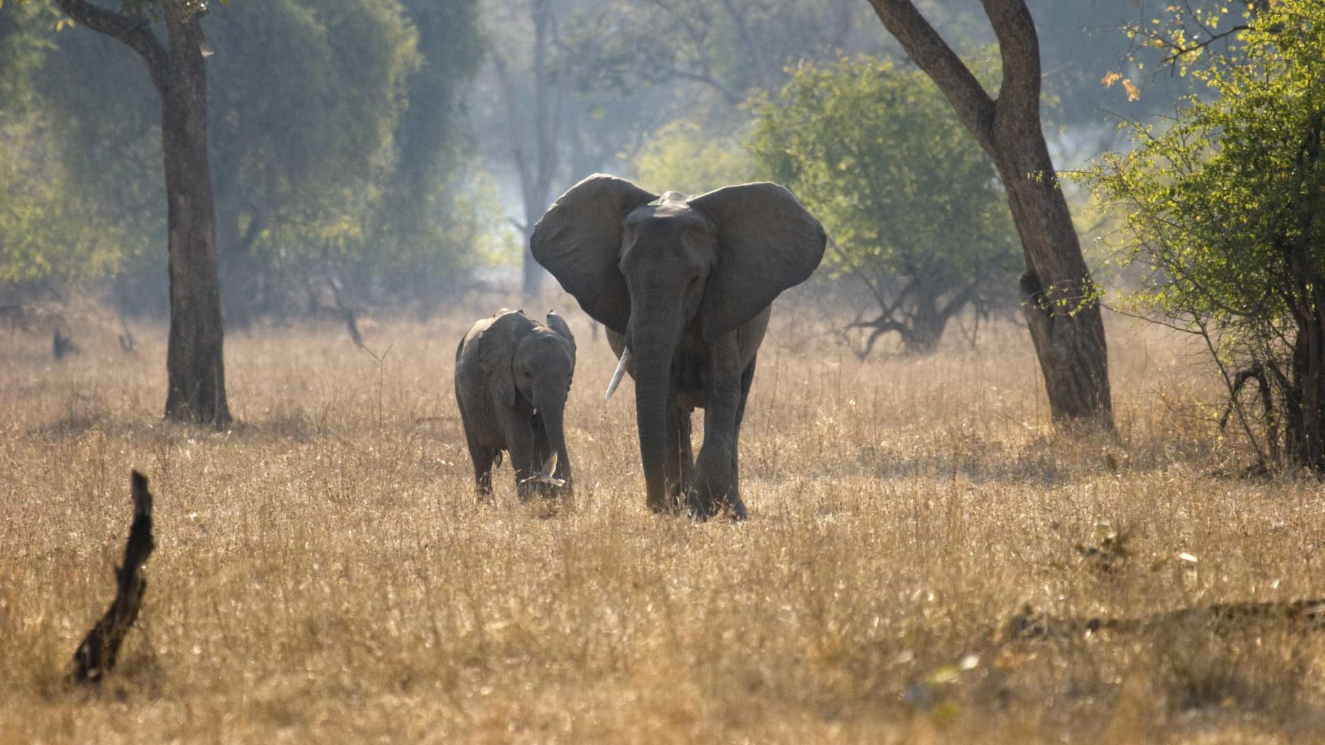 """Elefantes em Angola precisam de """"proteção ativa"""""""