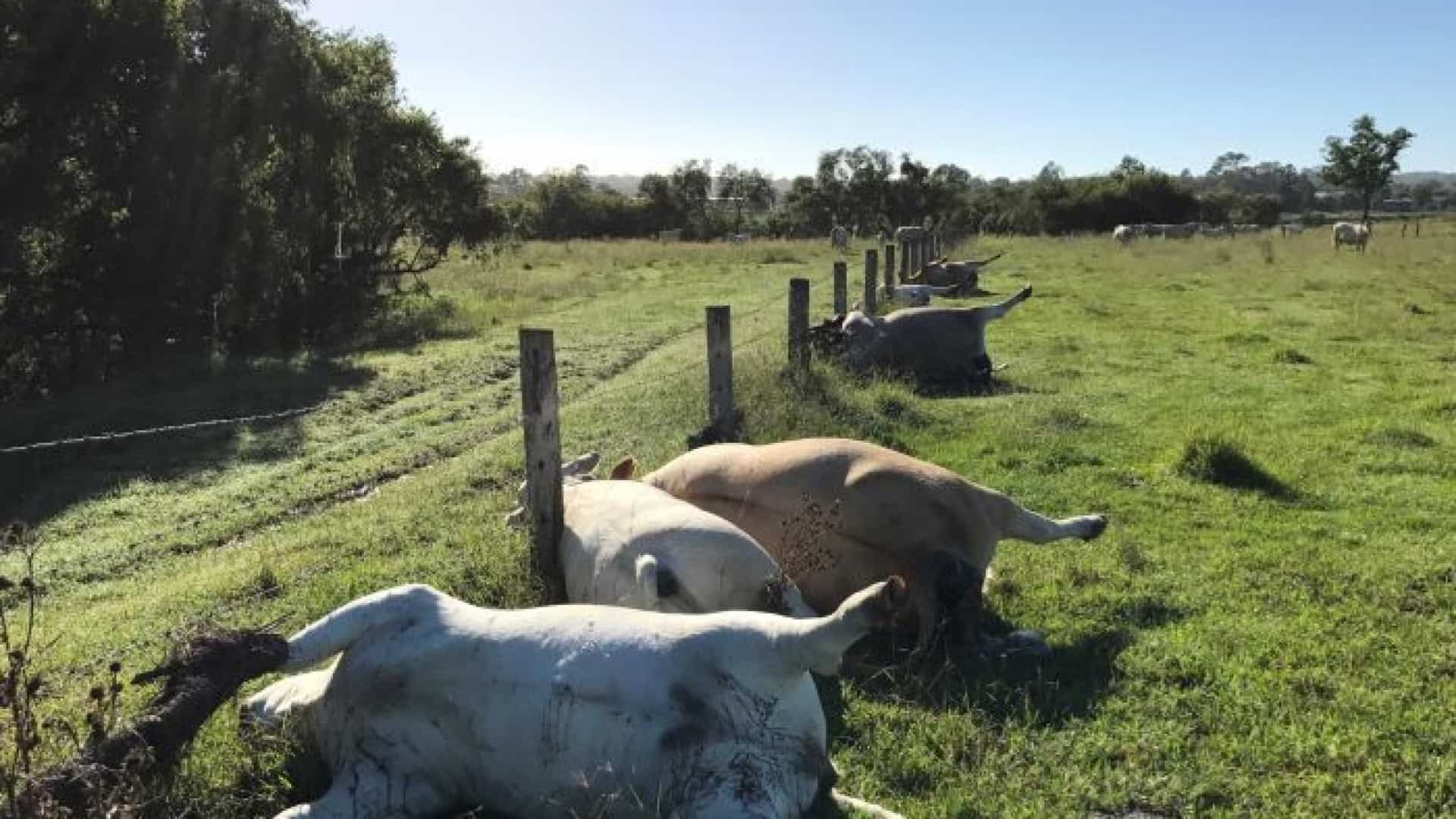 Raio matou vacas na Austrália