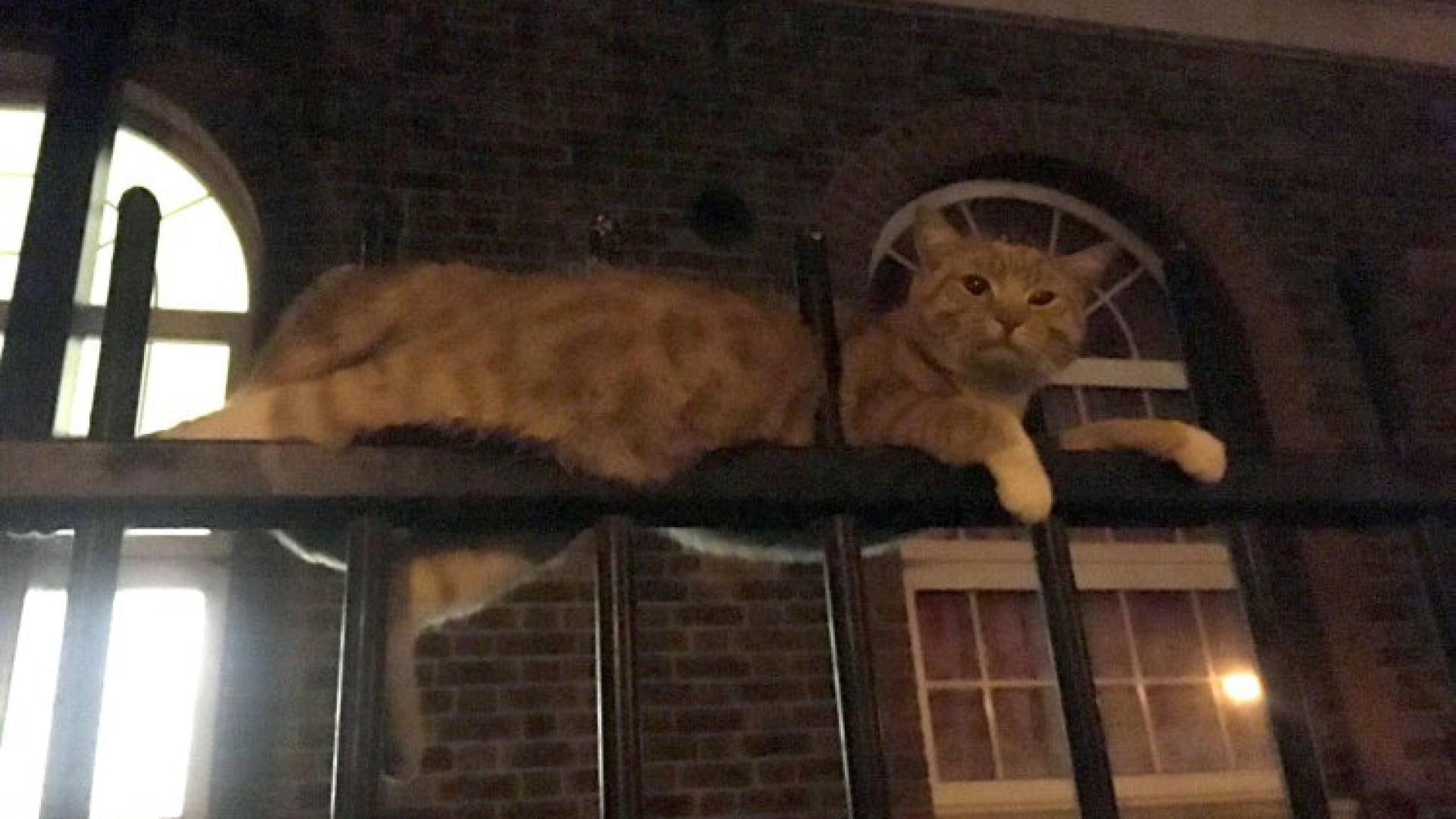 Gato empalado em gradeamento sobrevive contra todas as expectativas