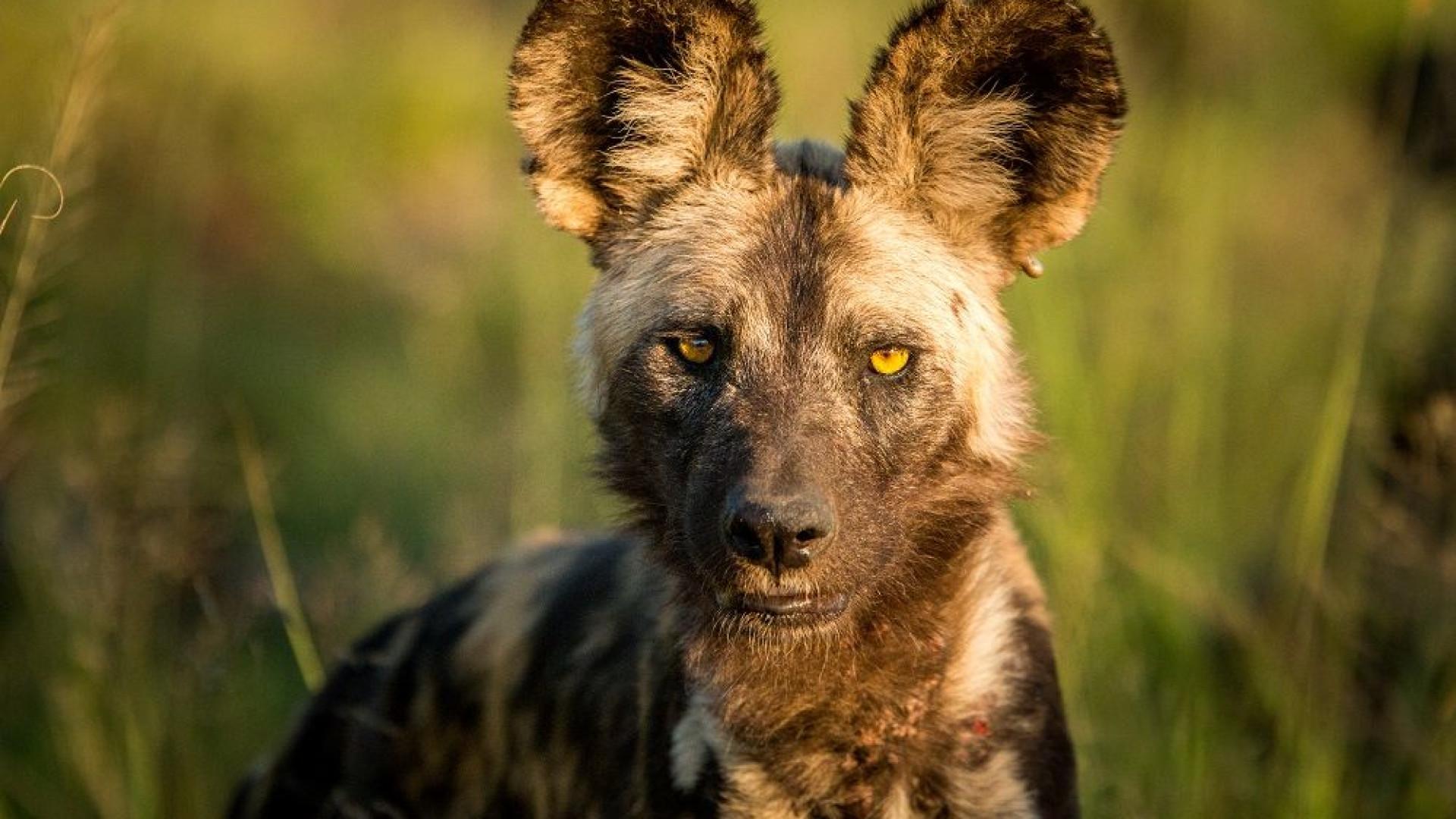 Moçambique recebe esta segunda-feira cães selvagens em risco de extinção
