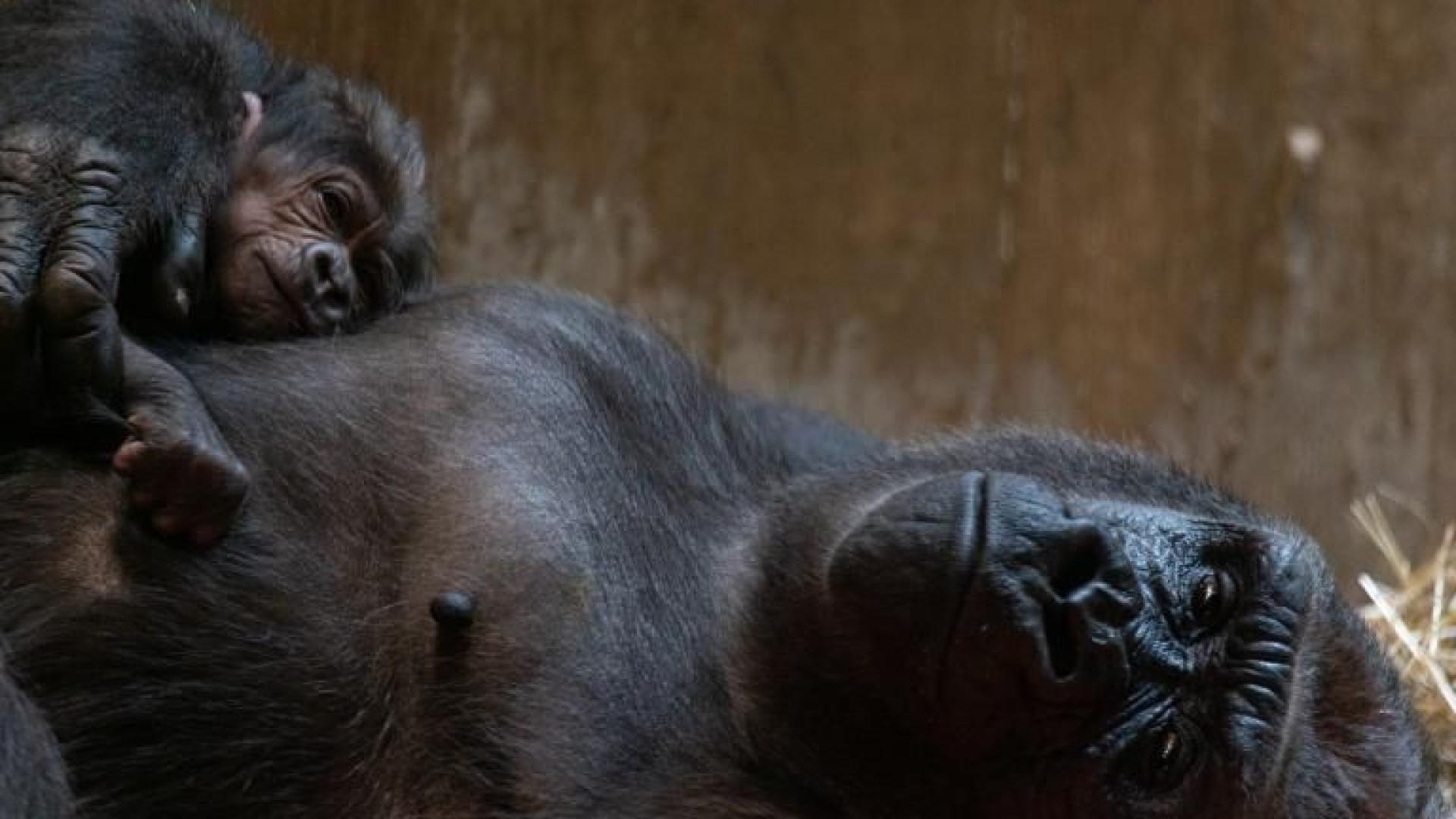 Gorila beija cria momentos depois de dar à luz
