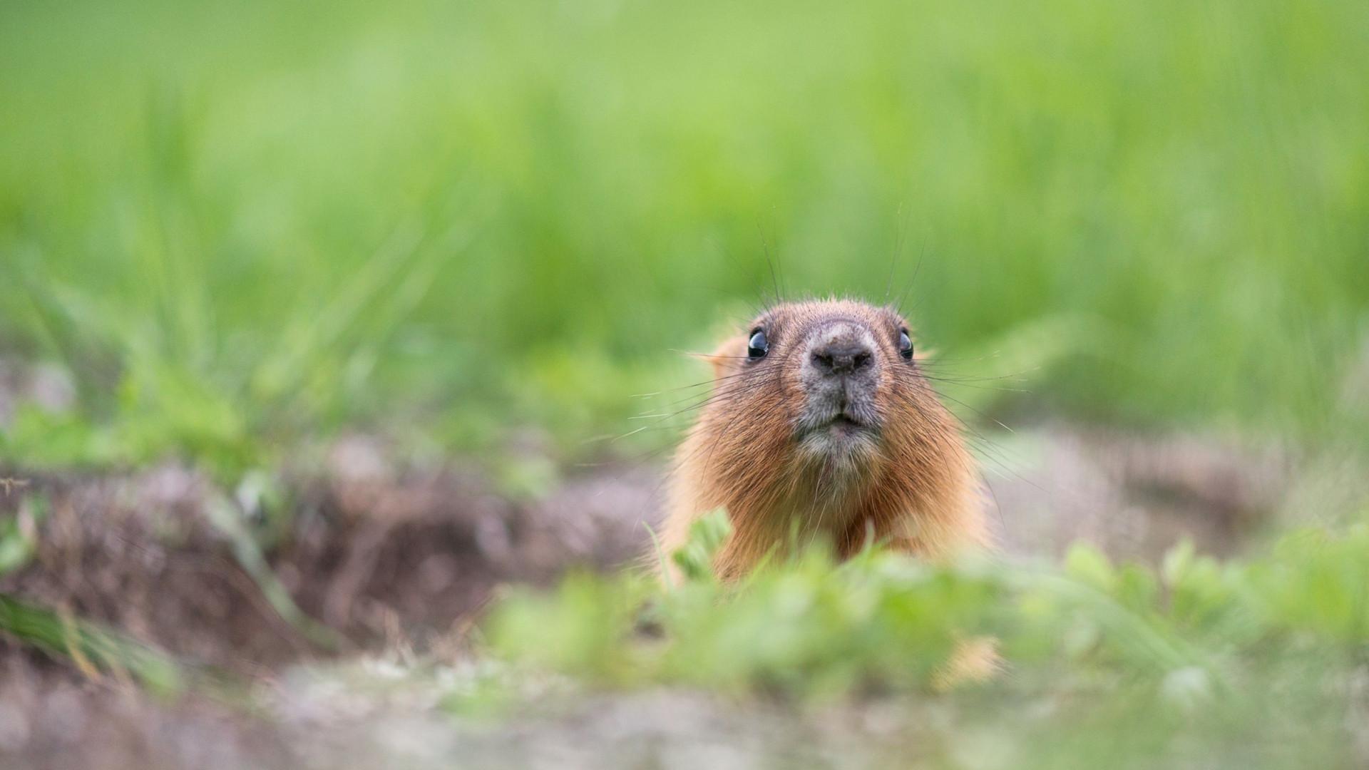 Em vez de recolher animal, agente nos EUA baleou marmota em estrada