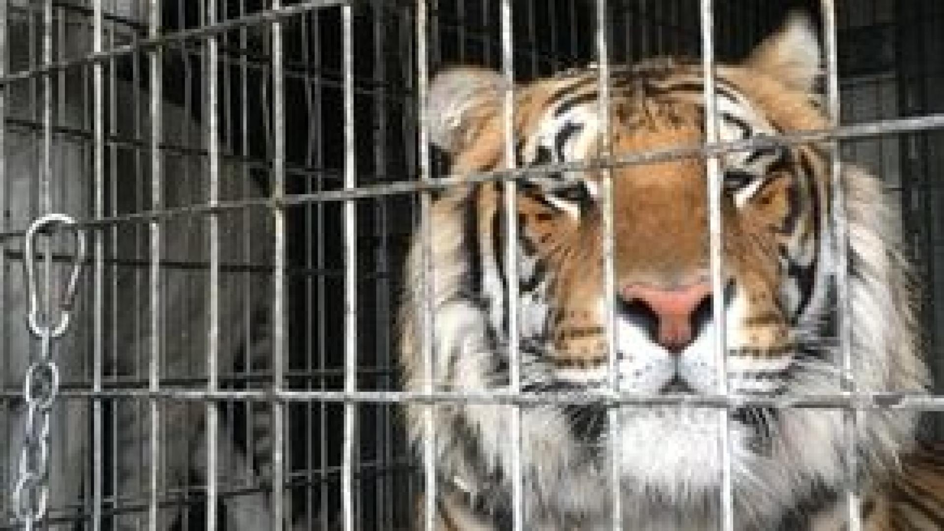 Polícia responde a acidente no Michigan e encontra oito tigres no local