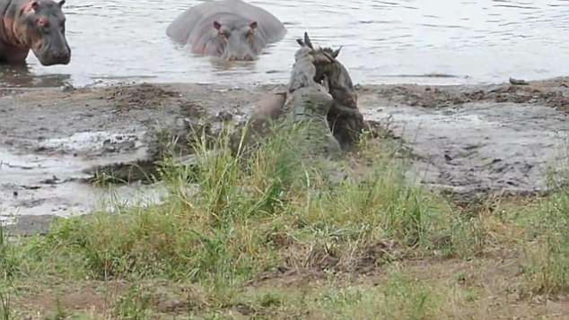 Gnu tem ajuda inesperada ao ser atacado por crocodilos na África do Sul