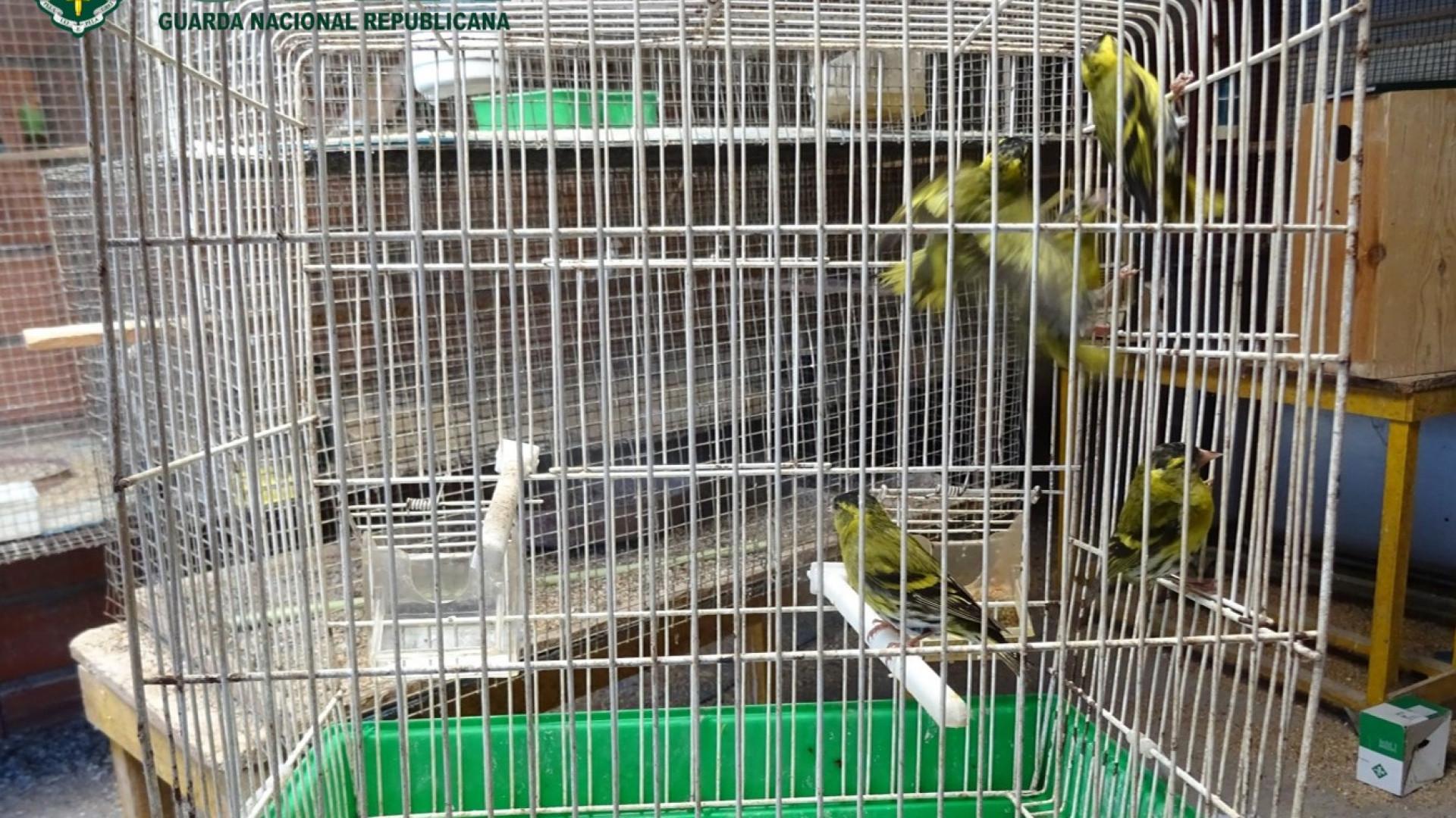 Idoso tinha aves selvagens em cativeiro. GNR apreendeu seis