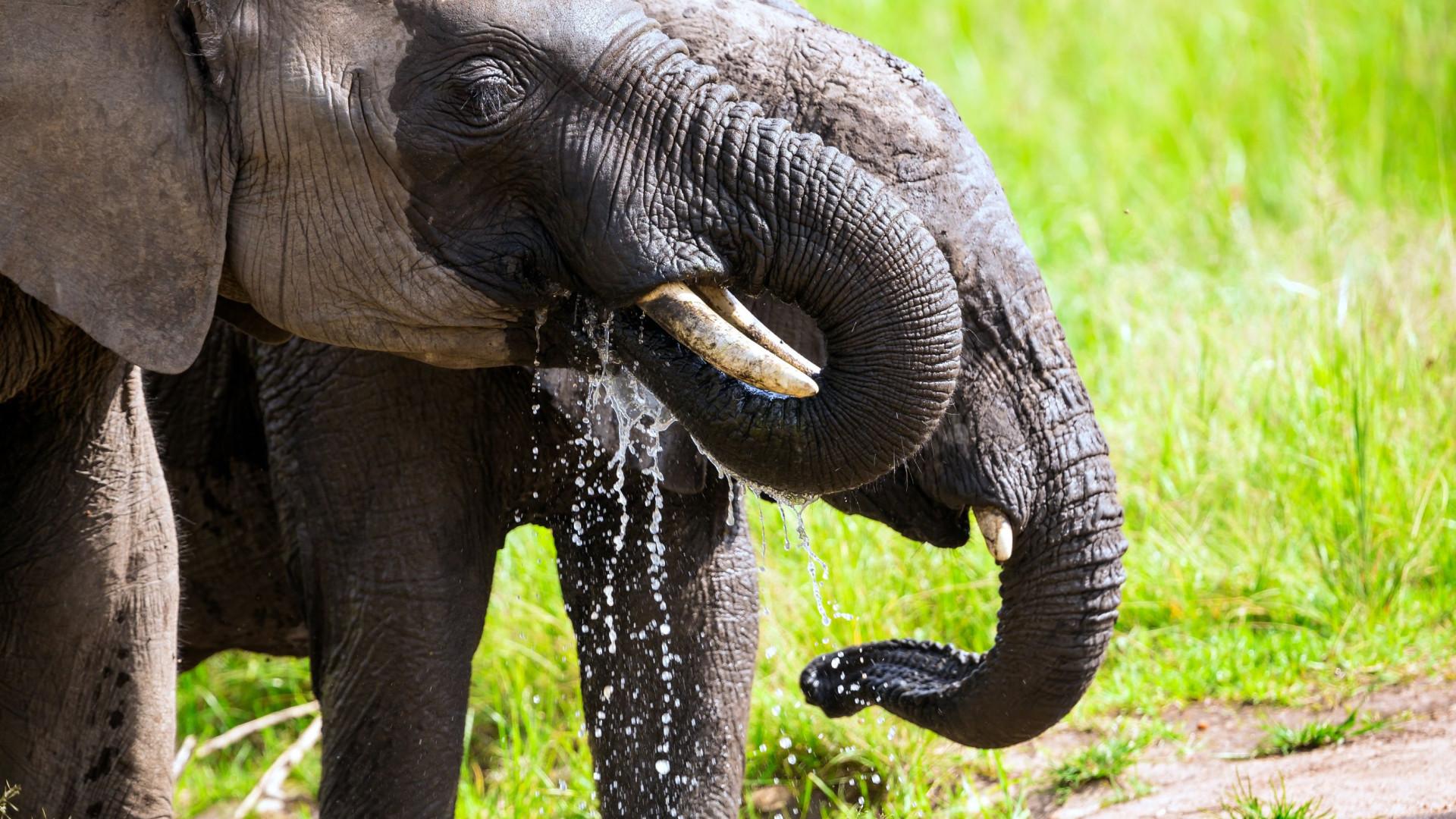 SABIA QUE os elefantes sentem o cheiro da água a até 5 km de distância?