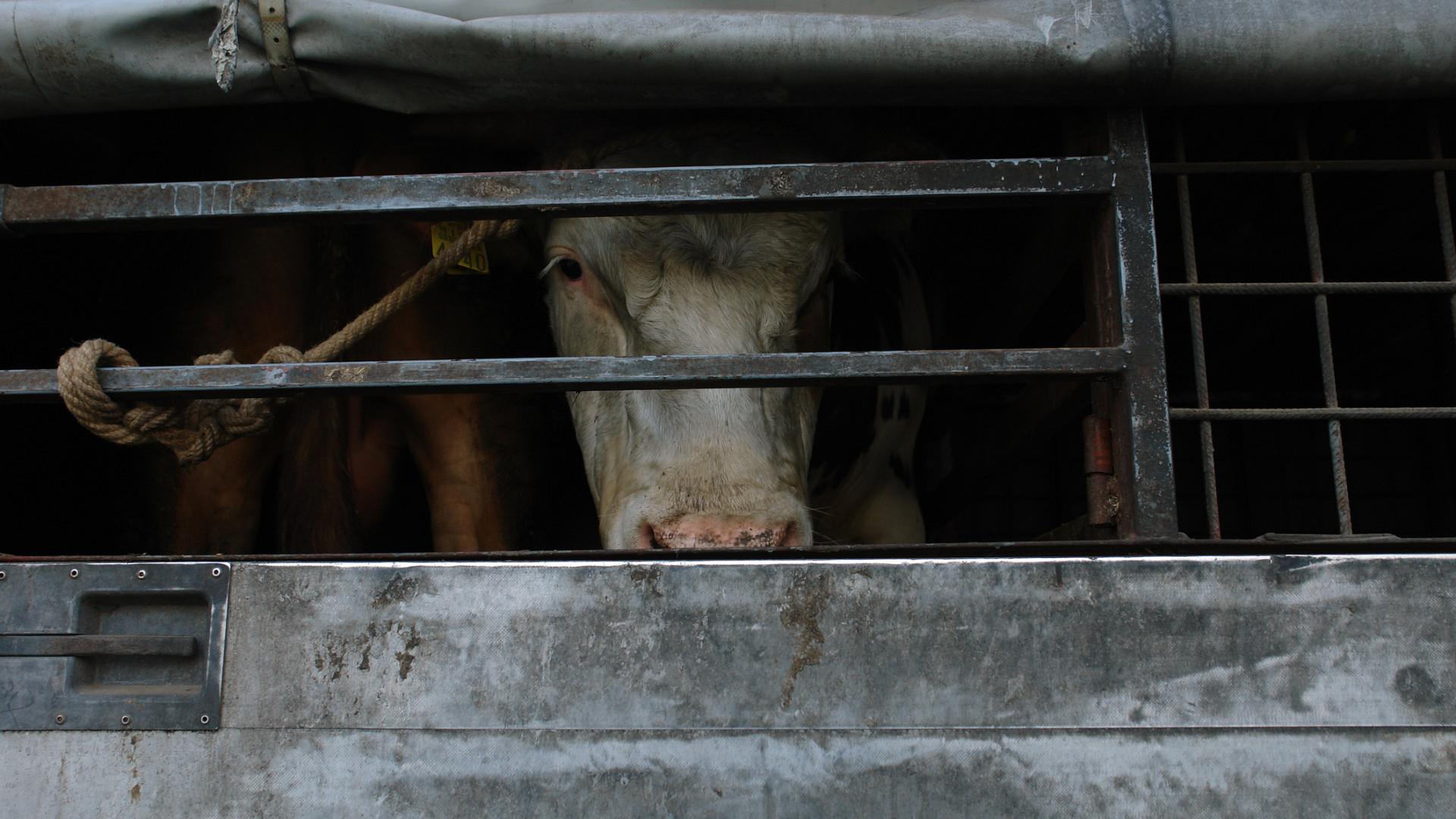 Camião com gado a bordo despista-se na A17