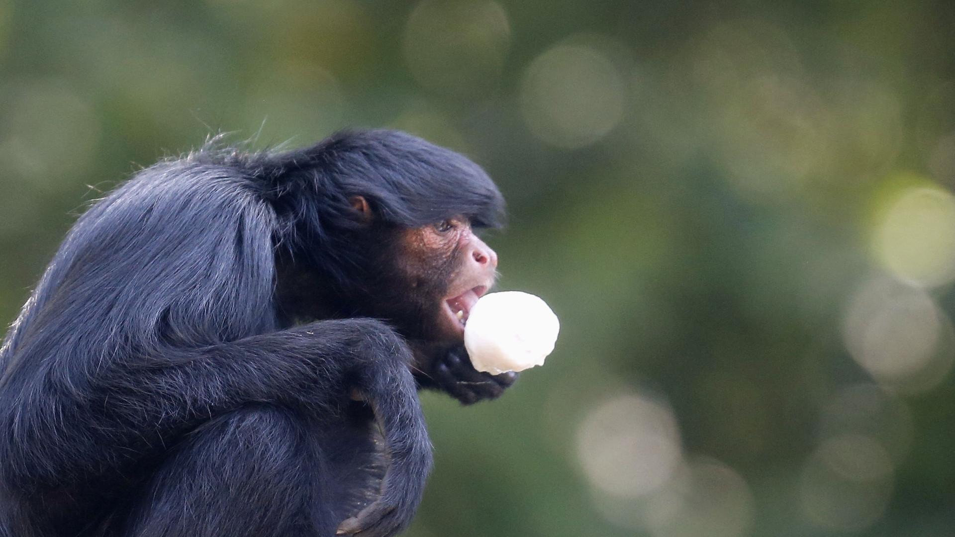 Macaco morreu atropelado em estrada após fugir de jardim zoológico