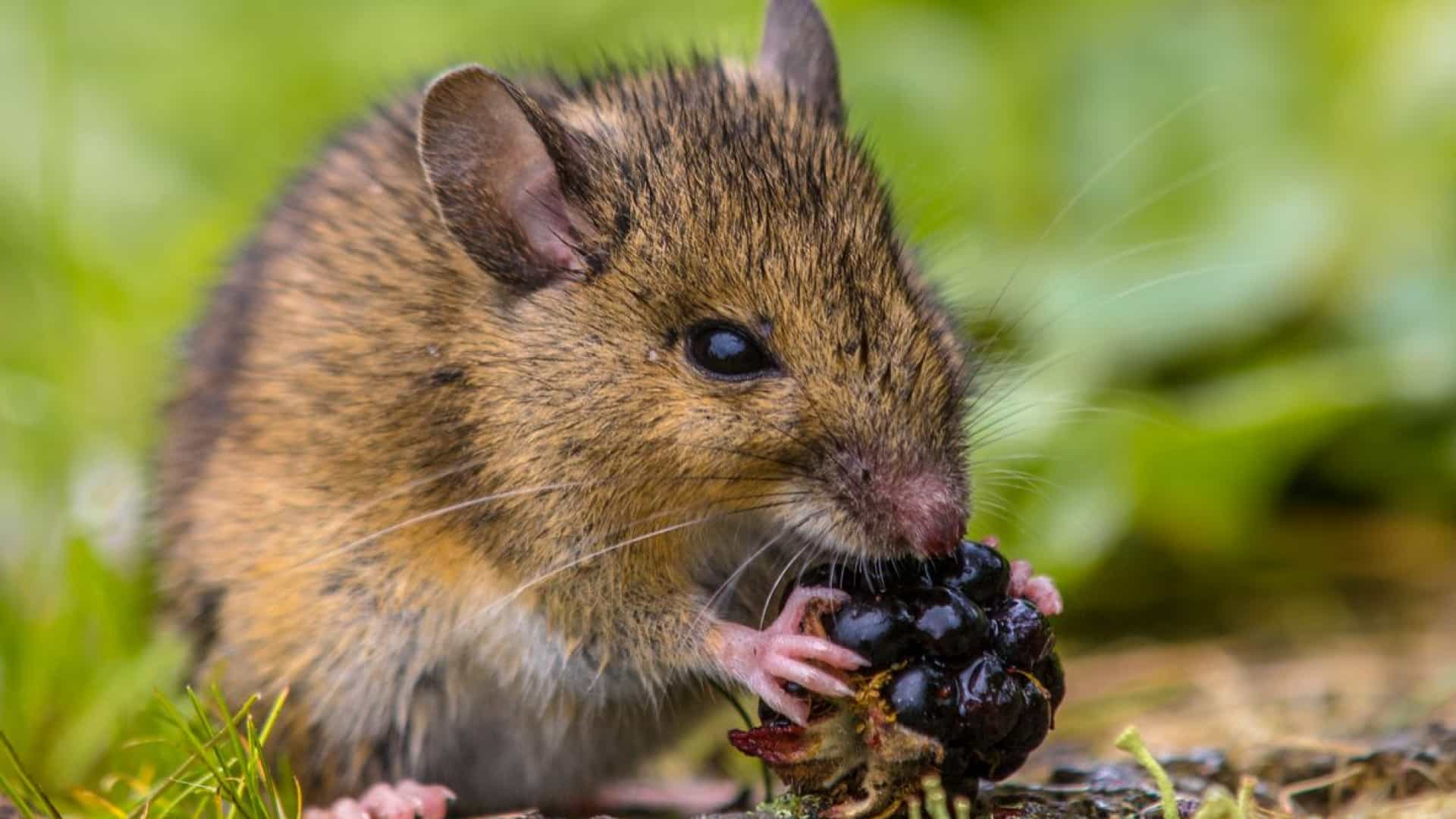 SABIA QUE os ratos são animais limpos e arrumados?