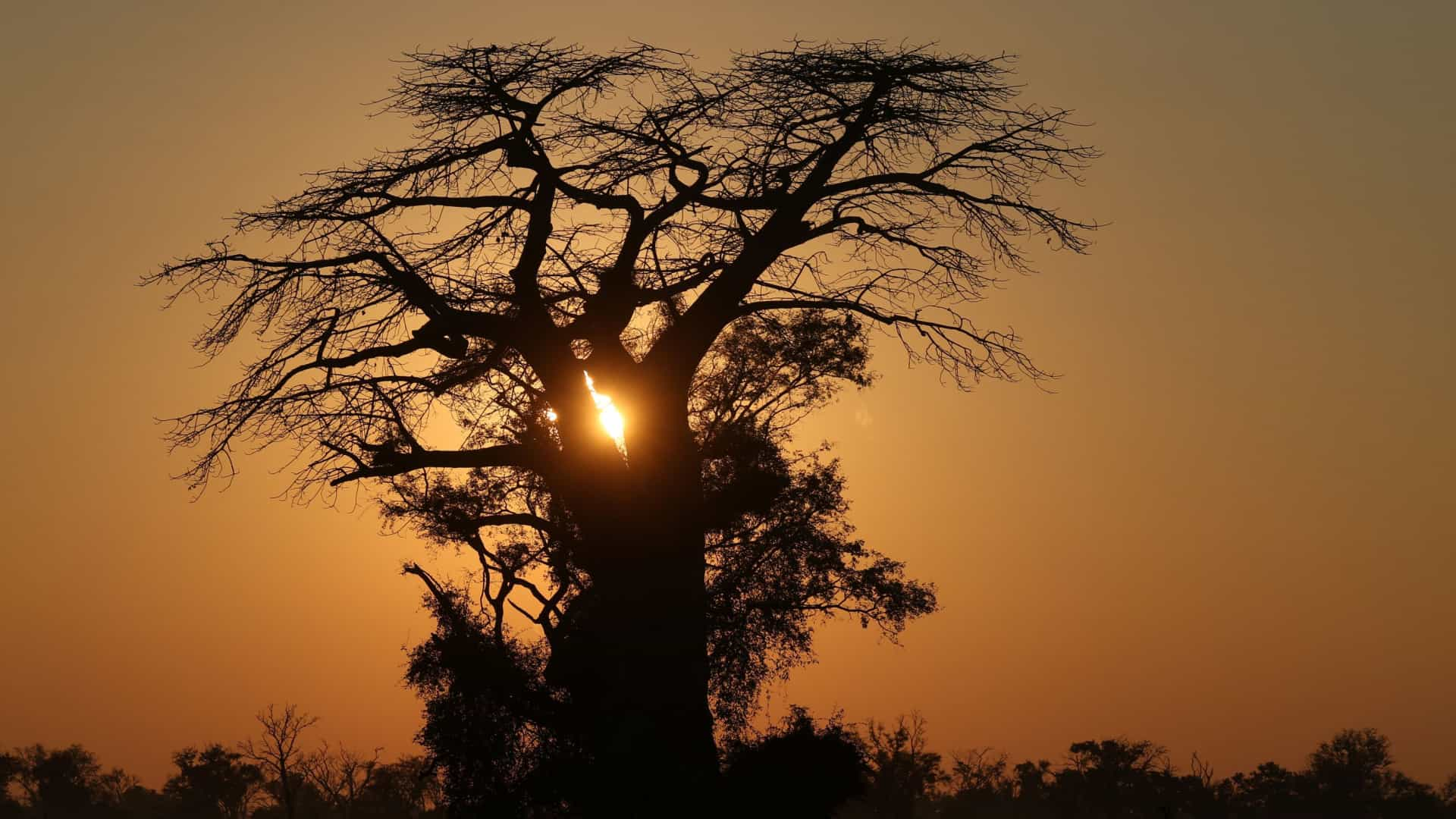 Investigadores estudam ligação de morte de baobás a alterações climáticas