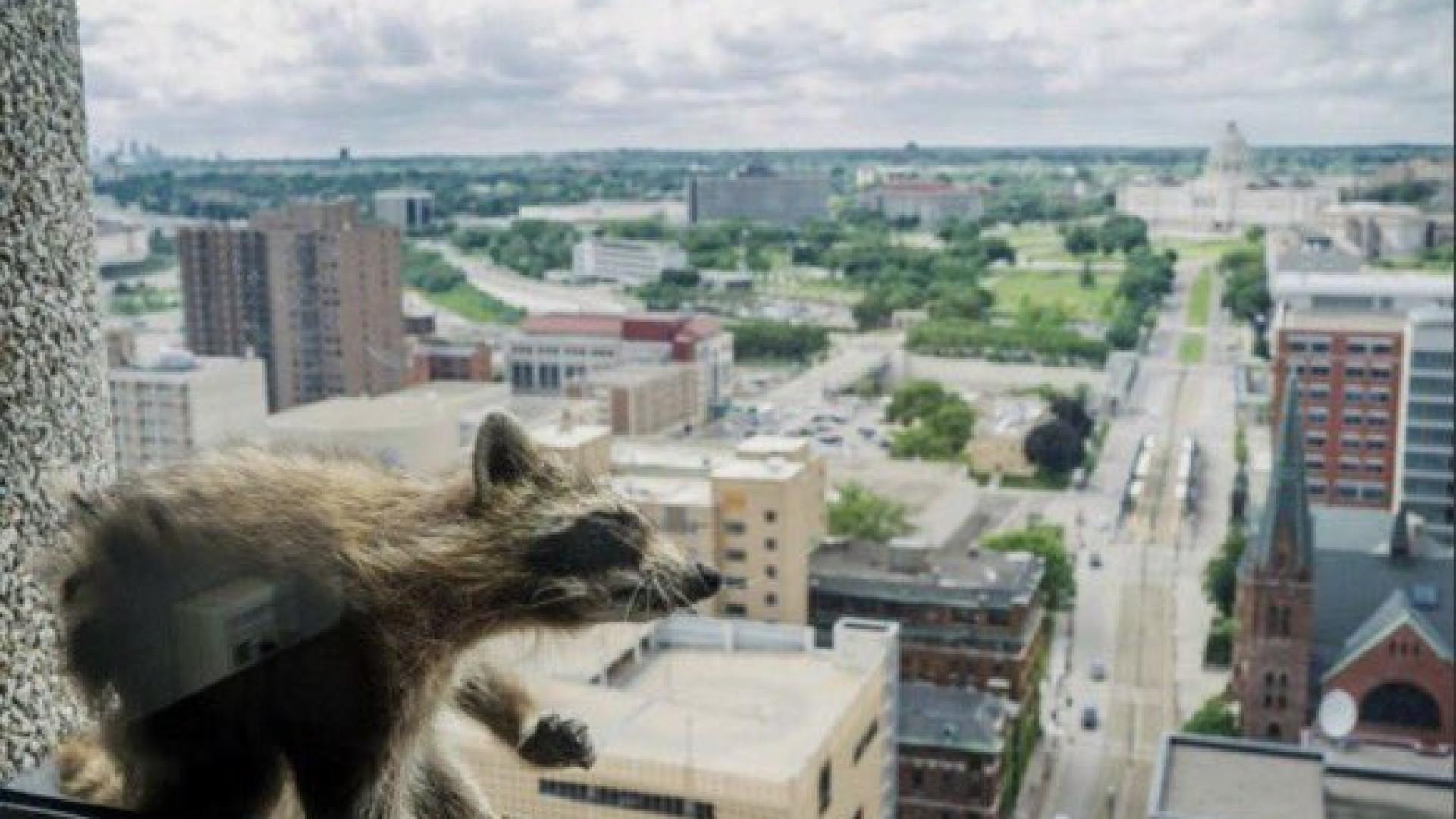 Guaxinim resgatado depois de longa escalada de arranha-céus no Minnesota