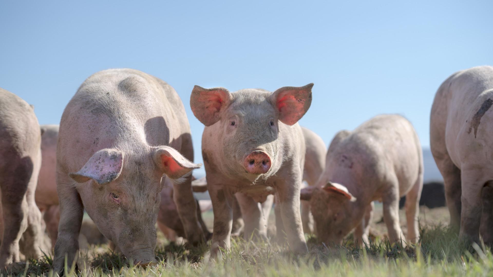 Pela primeira vez, há mais porcos em Espanha do que humanos