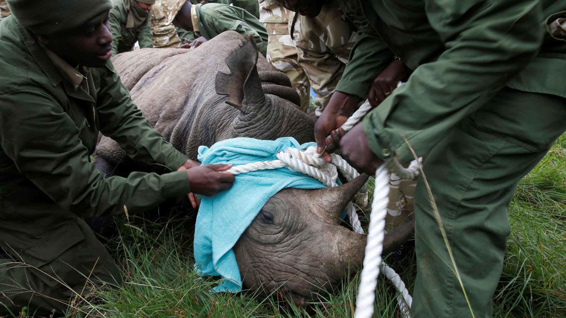 """Mudança de rinocerontes-negros no Quénia acaba em """"desastre"""""""