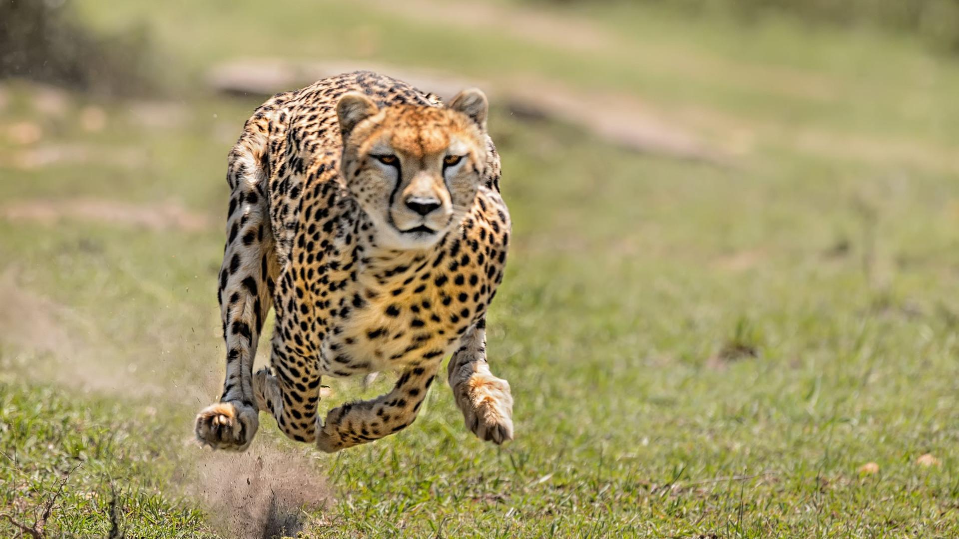 SABIA QUE a Chita é o animal mais rápido do mundo?