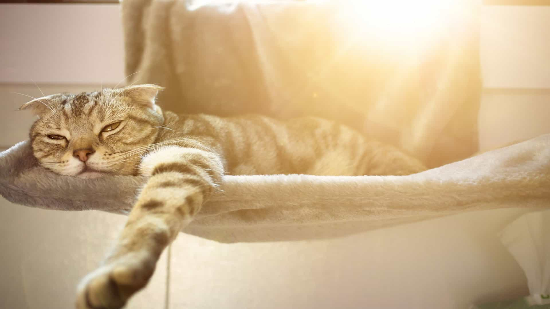 O leitor perguntou: Será que os gatos suam?