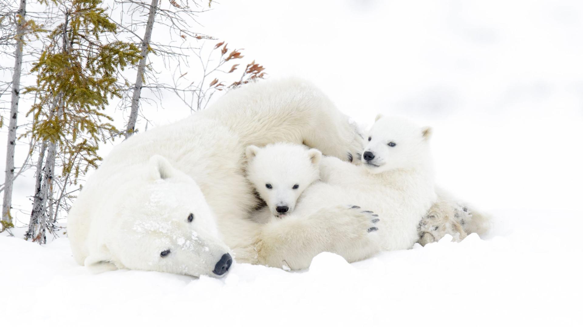 SABIA QUE os ursos polares têm pelos escuros?
