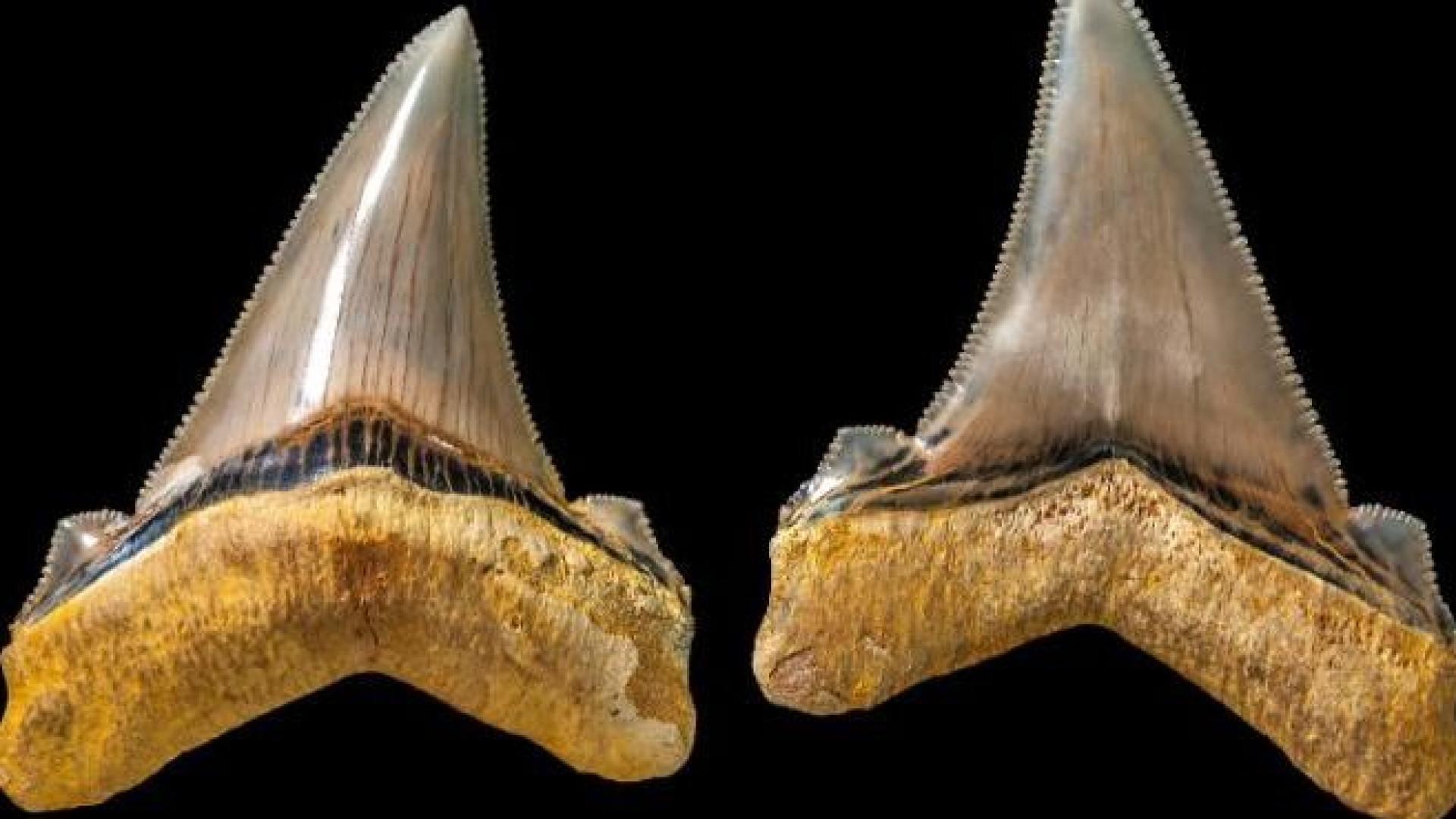 Homem descobre dentes de tubarão com 25 milhões de anos na Austrália
