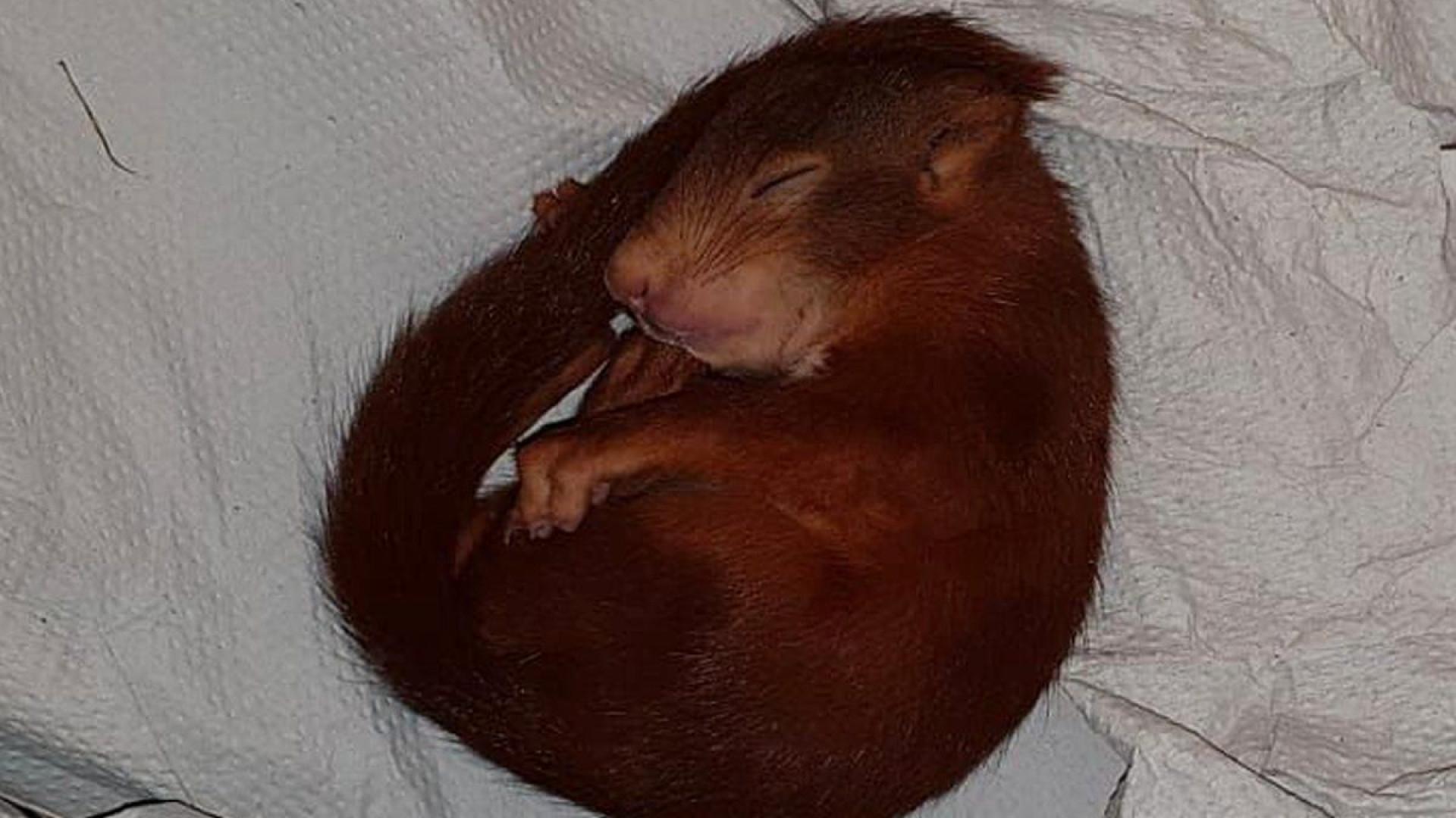 Polícia alemã 'salva' homem de esquilo bebé