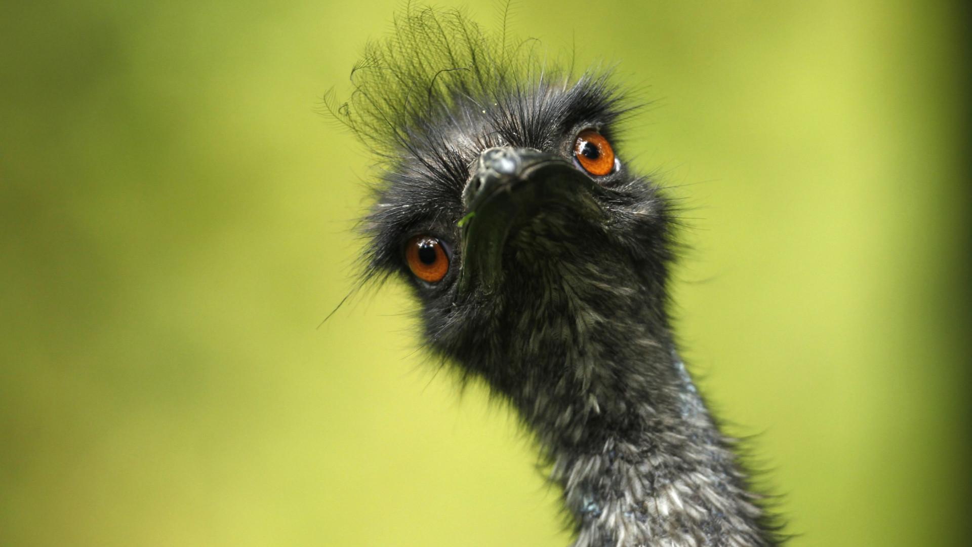 Devido à seca, esta ave nativa 'invade' ruas australianas