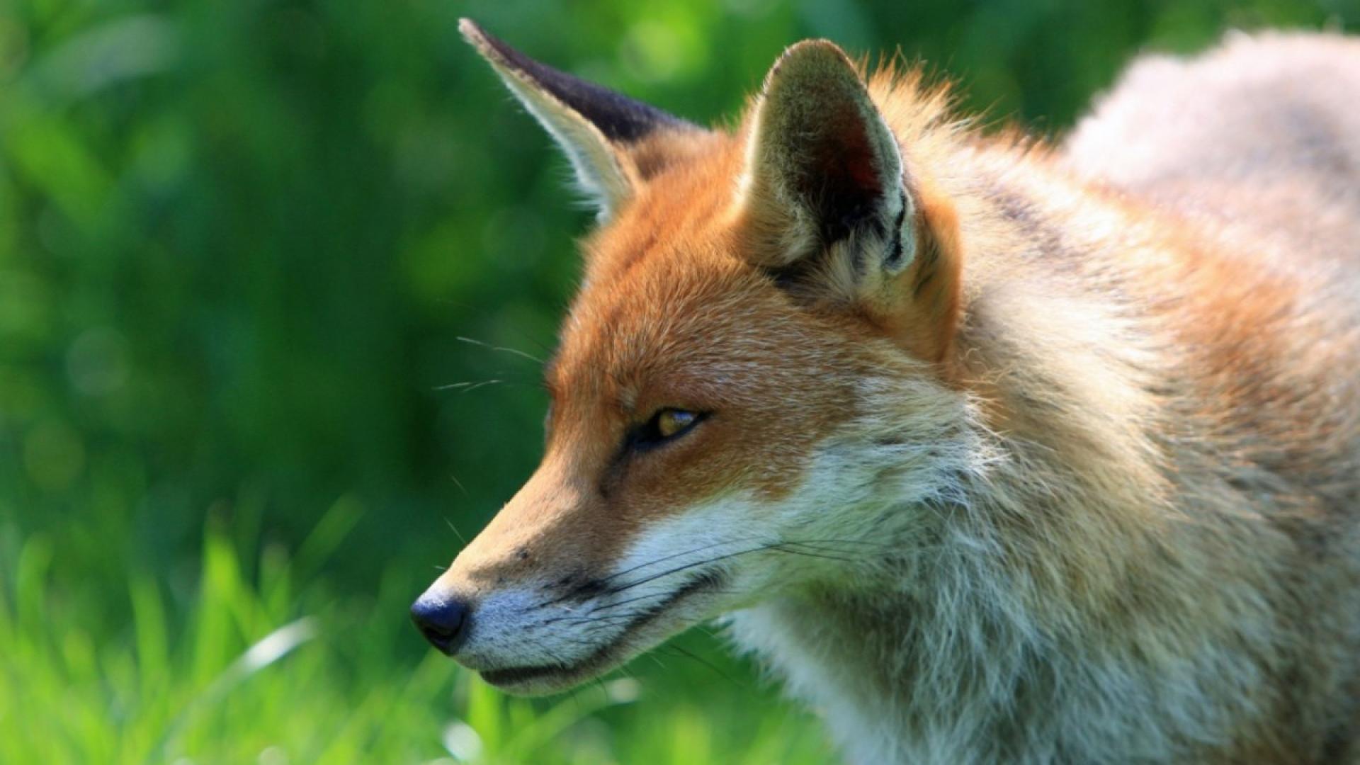 PSD, PS, CDS e PCP contra a proibição da caça à raposa