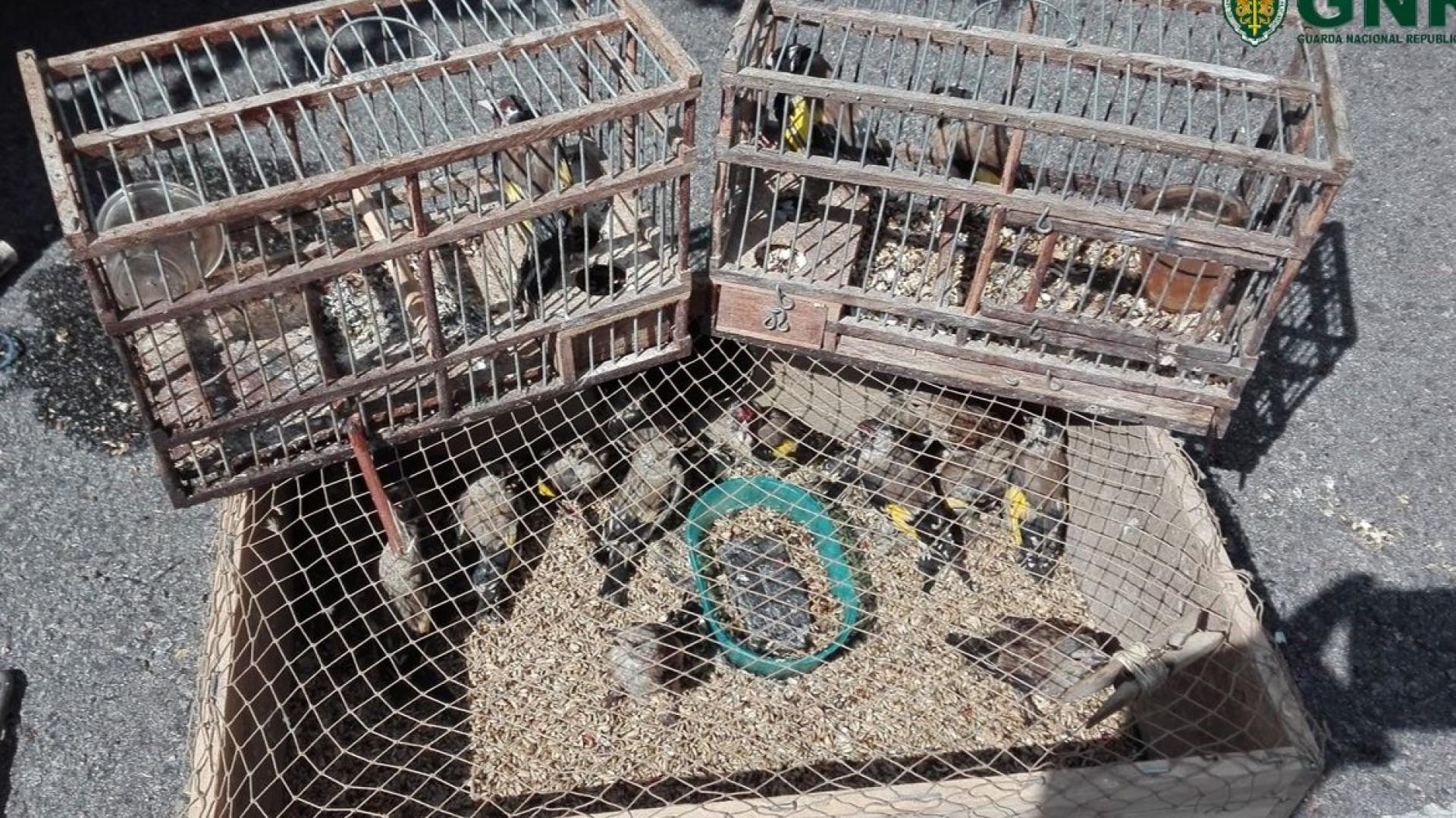 Detidos por andarem a caçar pintassilgos com chamarizes